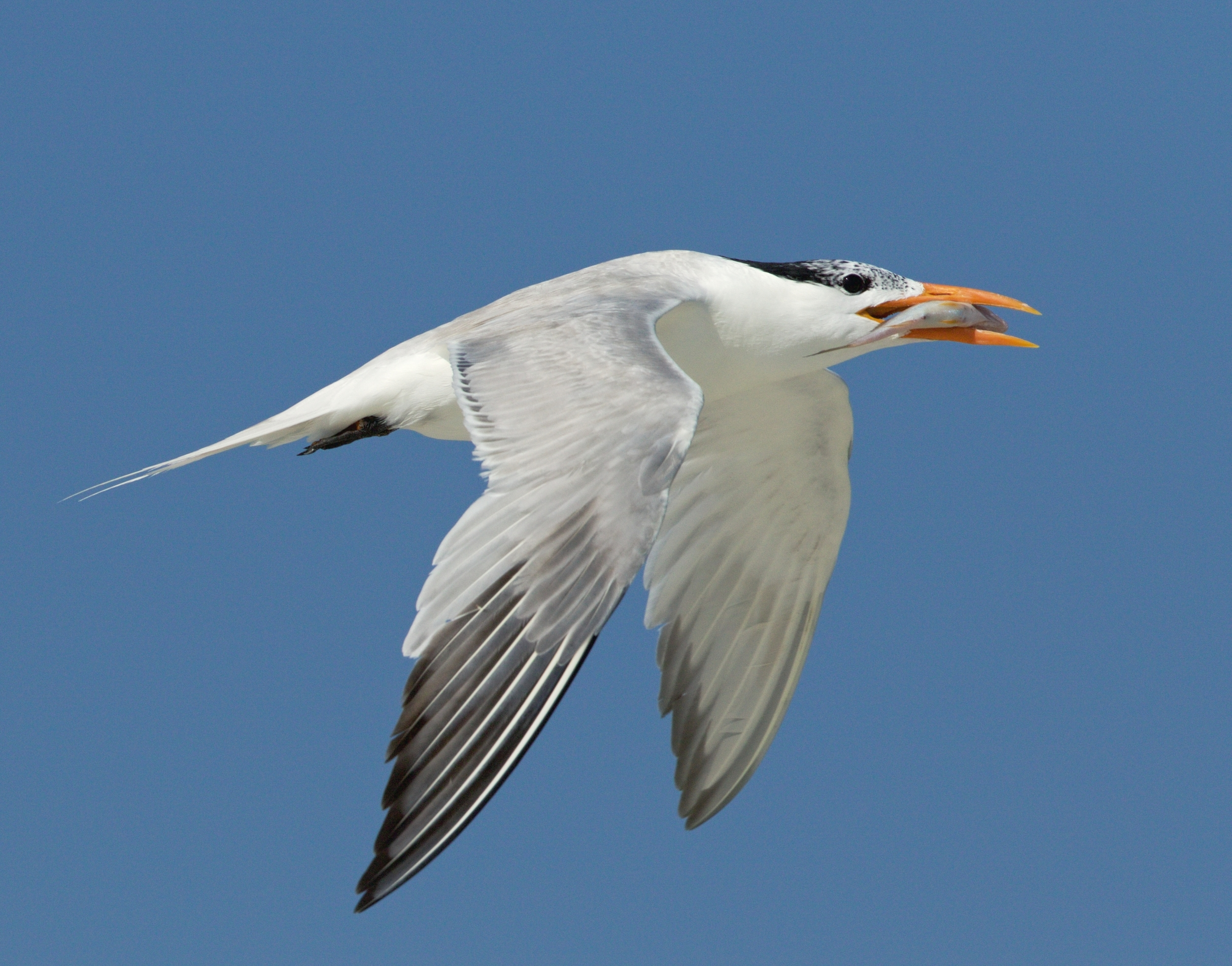 The parent Royal Terns bring in lots of food for the hungry chicks