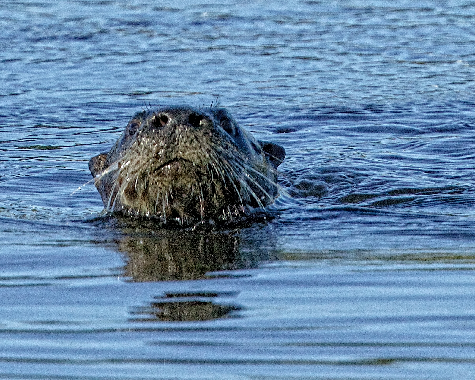 A River Otter pops up and gives me a wet whiskered grin..
