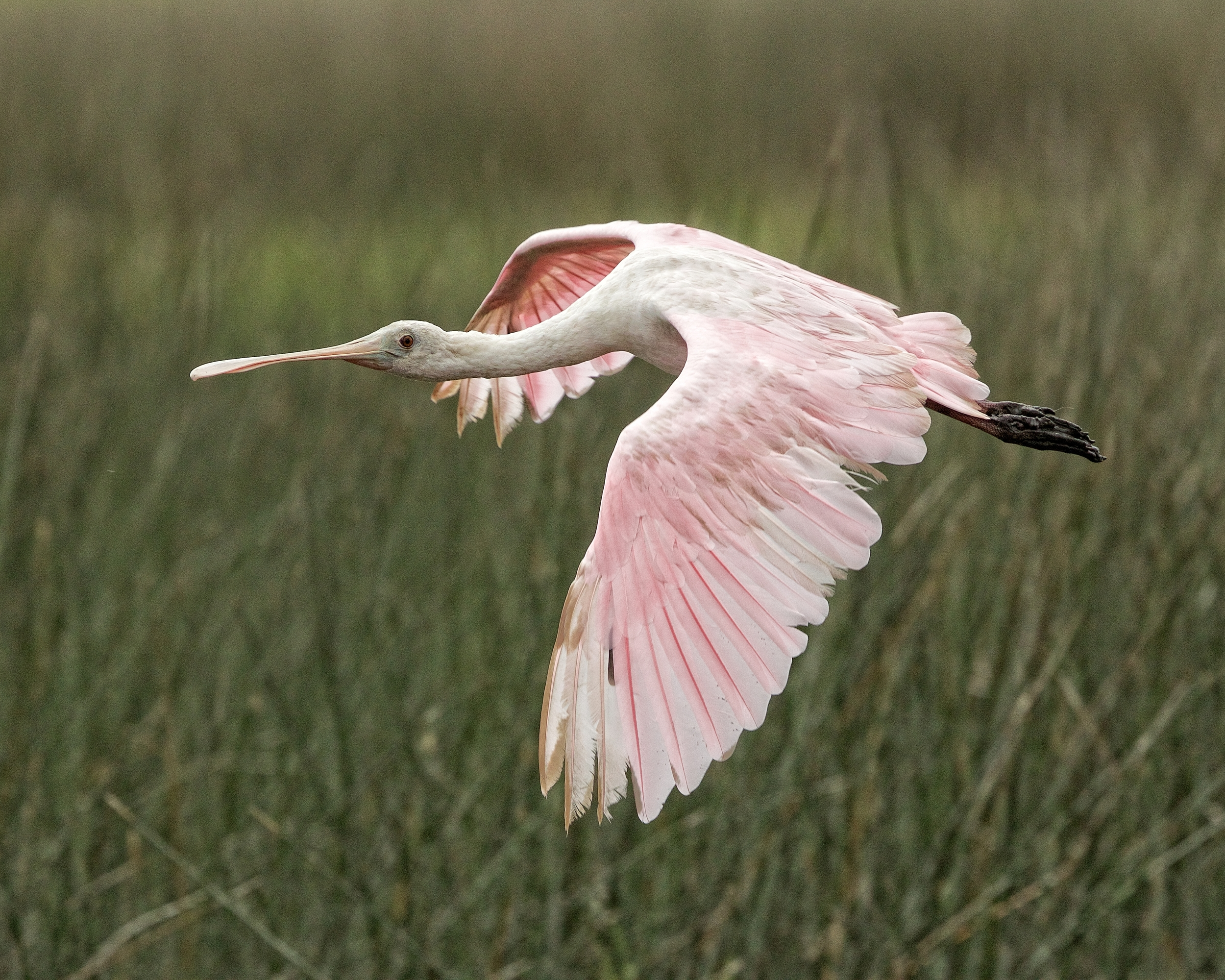 The Roseate Spoonbills are back..saw about a half dozen..first shot of the season..