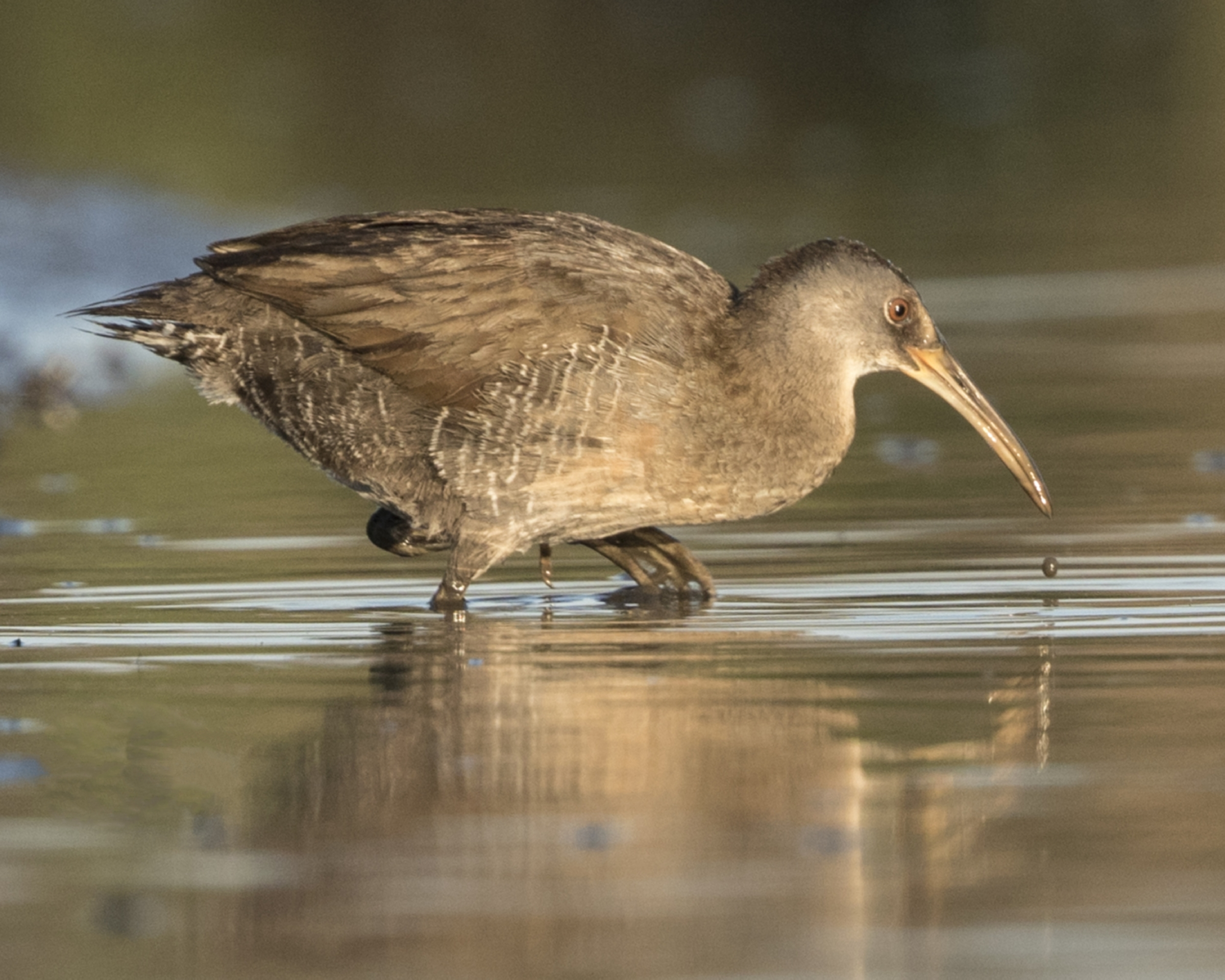 The McRail Clapper Rail male crossed the channel looking for a fight..