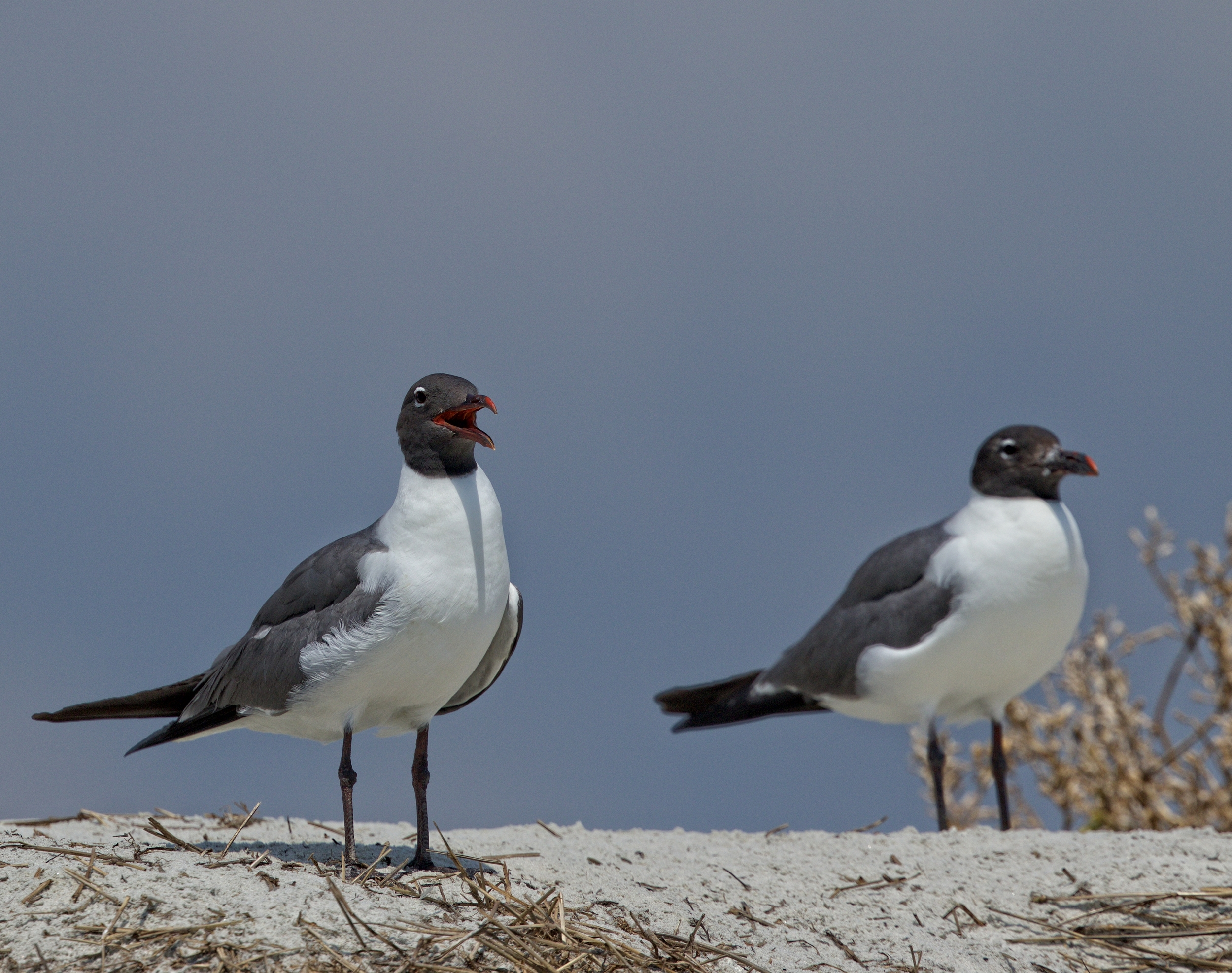 """""""Well, we hatched our young ones..time for some easy pickings on those Royals over there!"""" Laughing Gulls prepare to steal food from the Royal Terns.."""