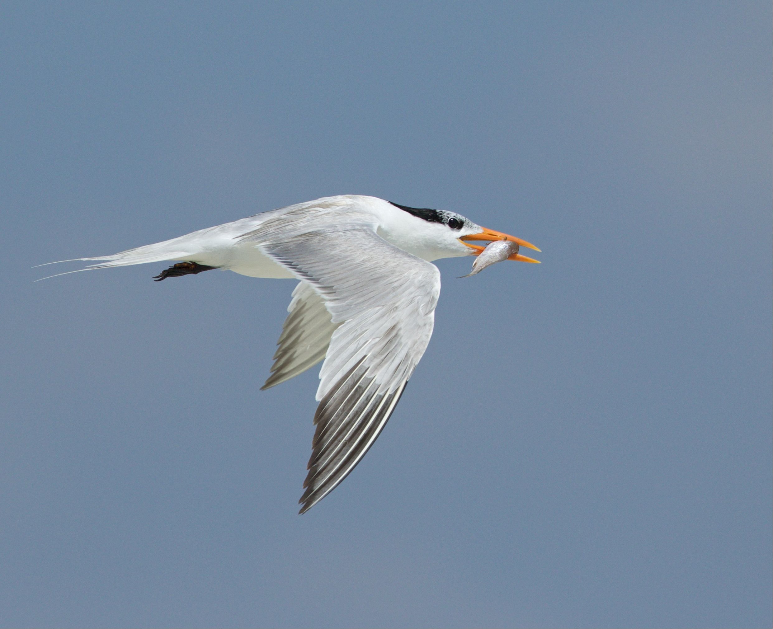 The loyal Royal Tern gets another fish for its chick..