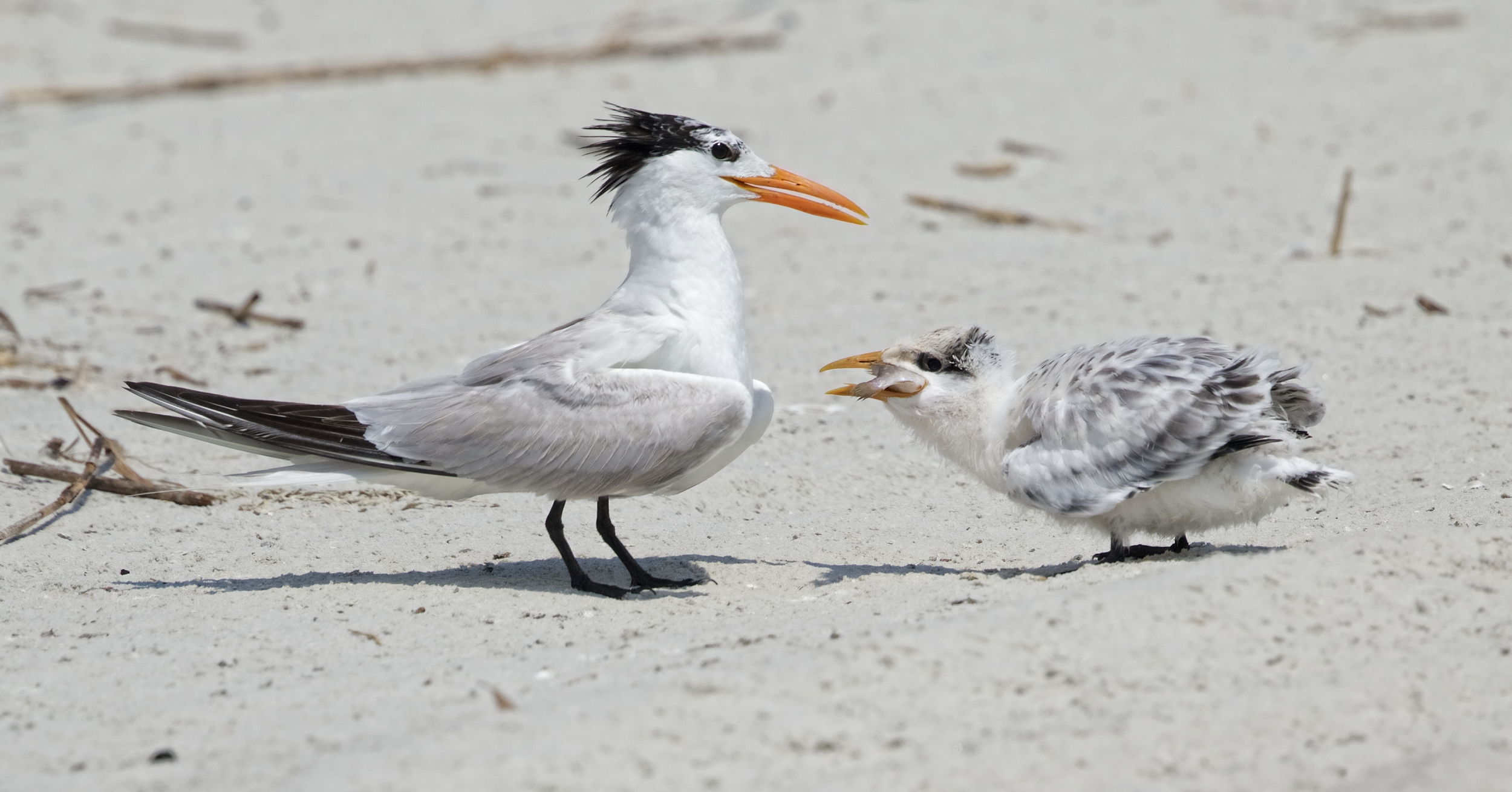 How is that one for size? Royal Tern chick swallows it whole.