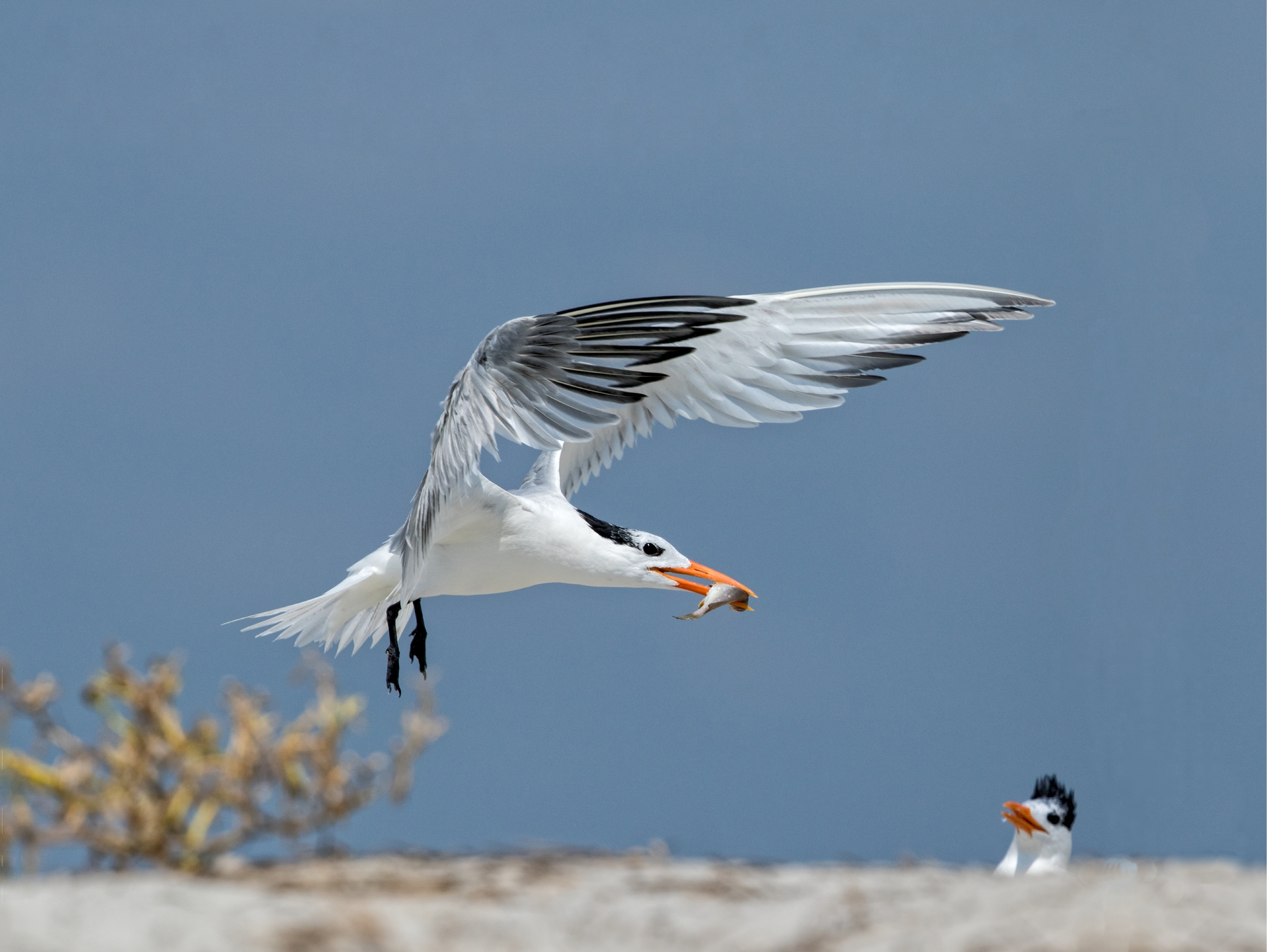 Here I come with more breakfast..Royal Tern winging in the food..