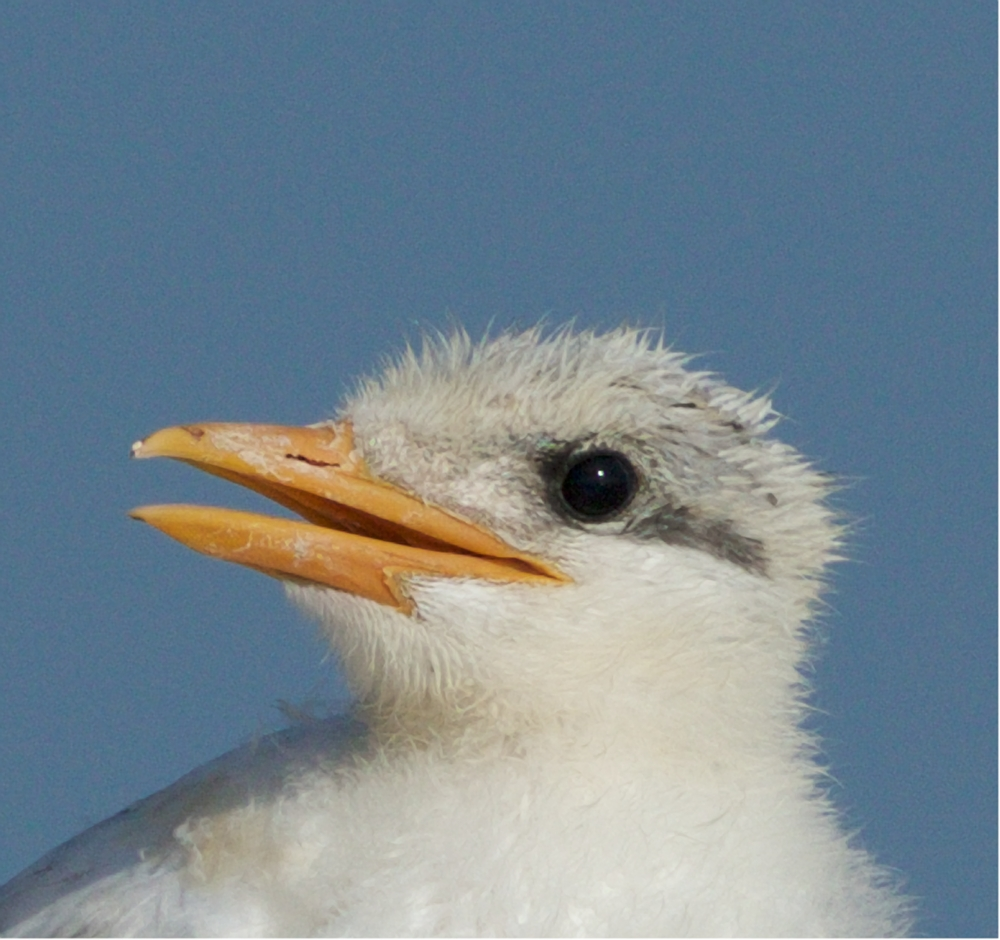 Royal Tern chick profile...it knows the parent will soon return with more..