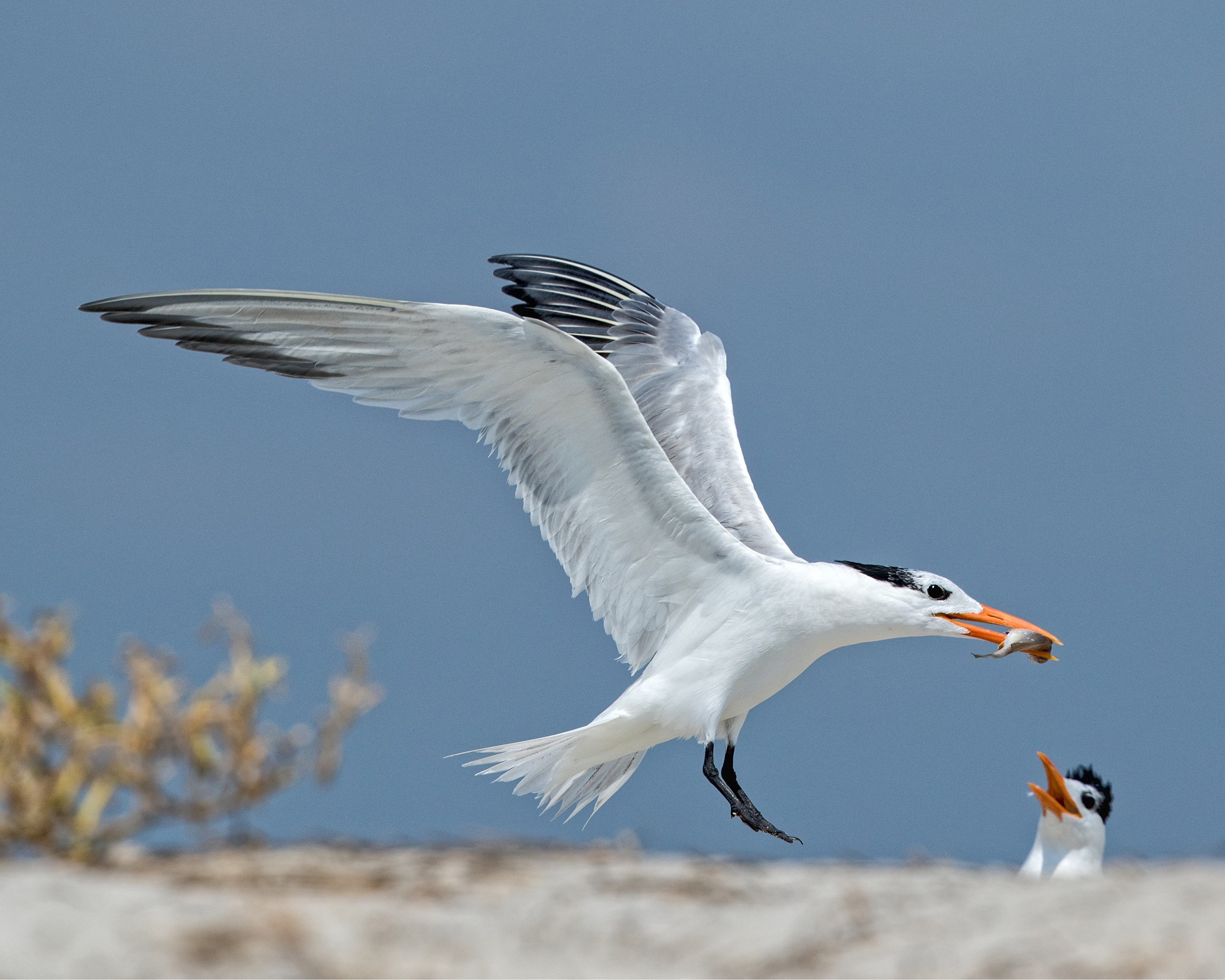 The parent Royal Tern returns with another meal..