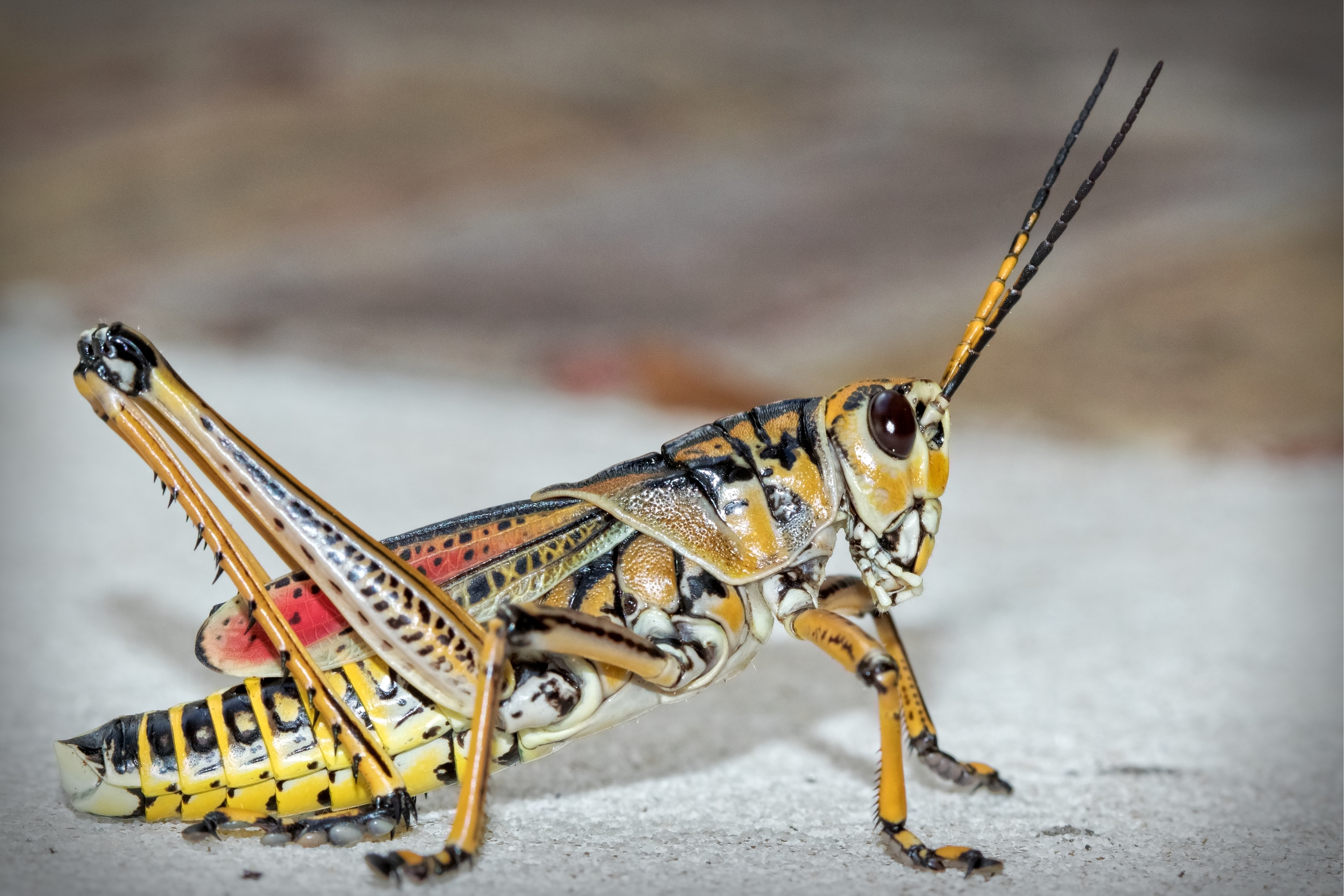 A Eastern Lubber Grasshopper sits at my front door..I grab my macro lens..