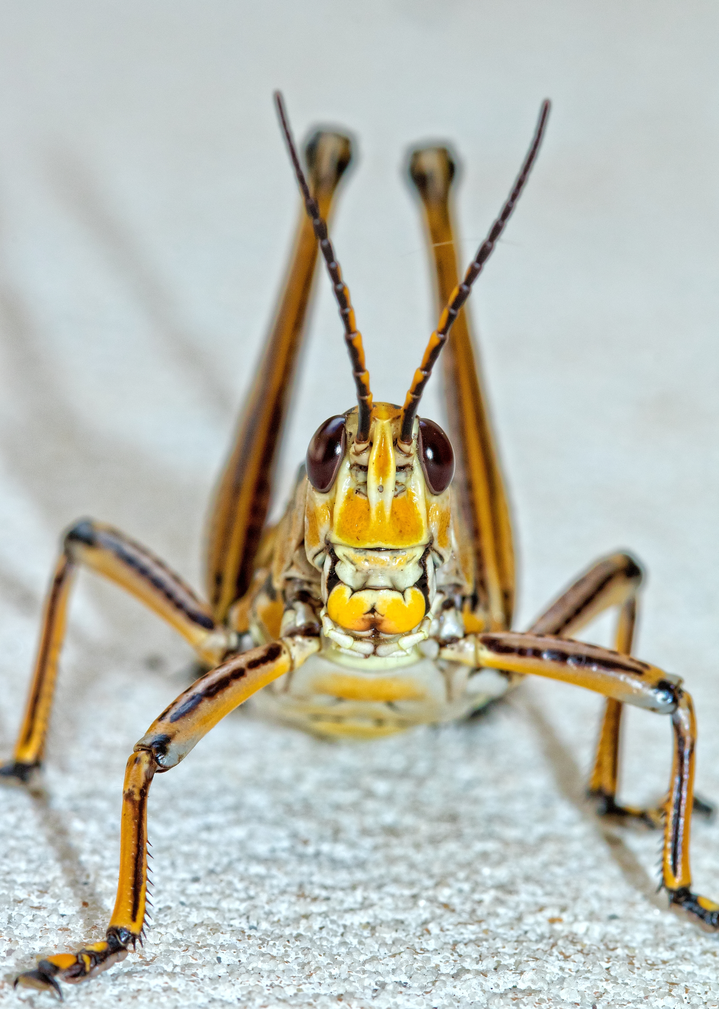 Front view Eastern Lubber Grasshopper
