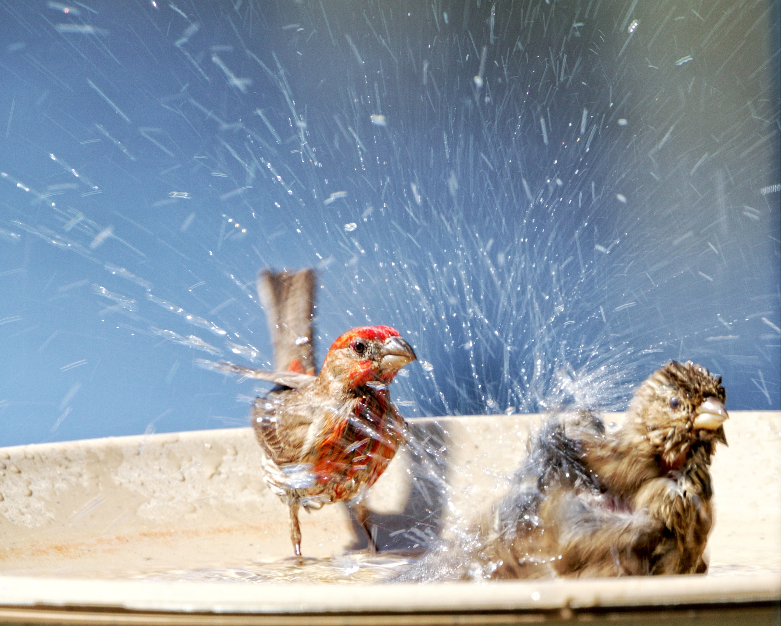 """Male House Finch (left) complains...""""Hey...this is the boys bird bath! No women allowed!"""""""