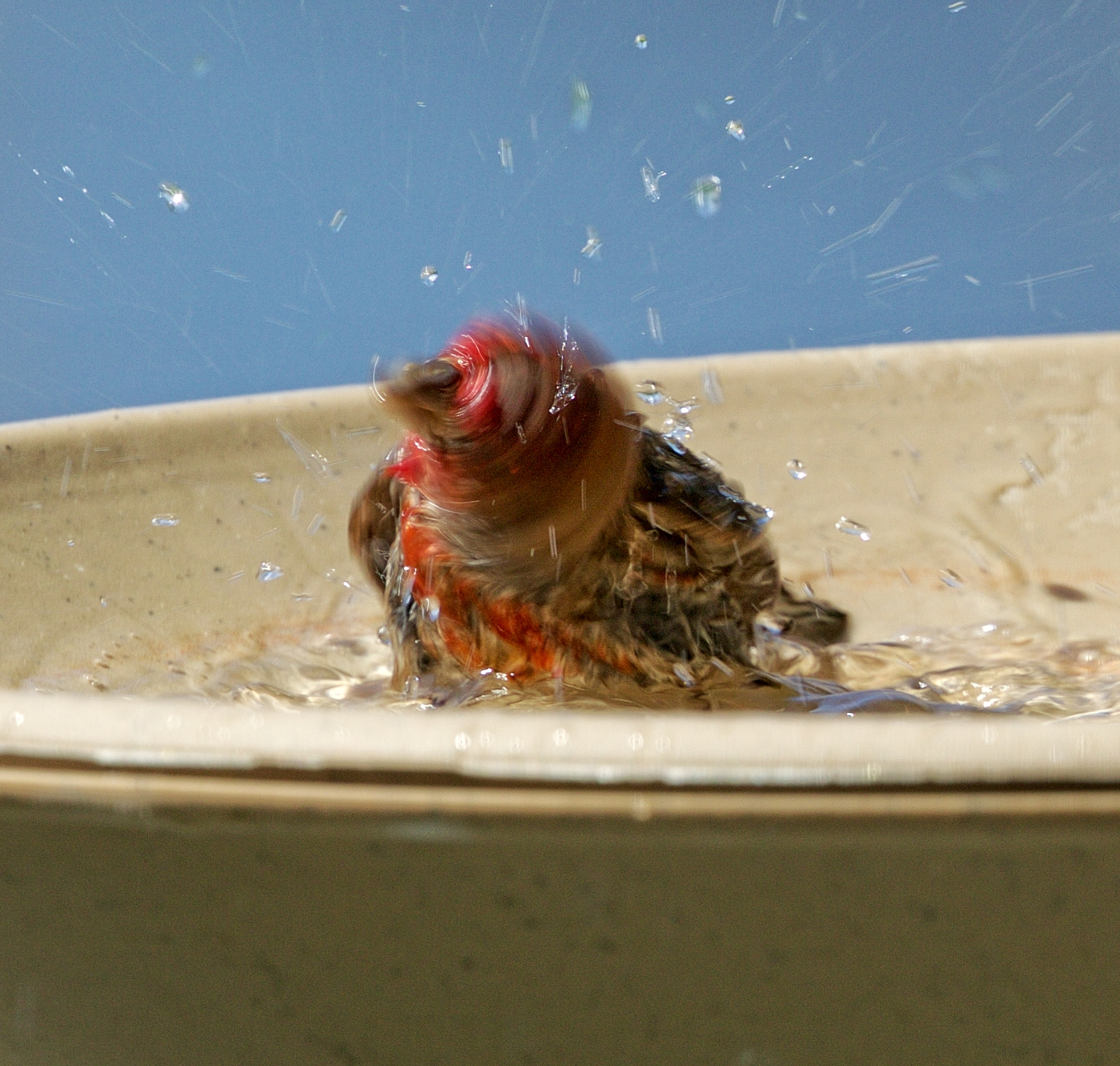 Blllltttt.....shaking it off..in the bird bath..