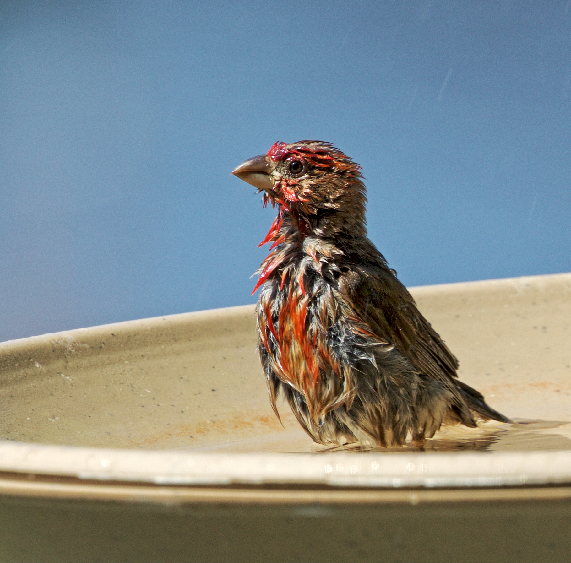 It is hotter than a Firecracker on the 4th of July here in Florida..glad I can soak my feet n feathers in this cool bath..
