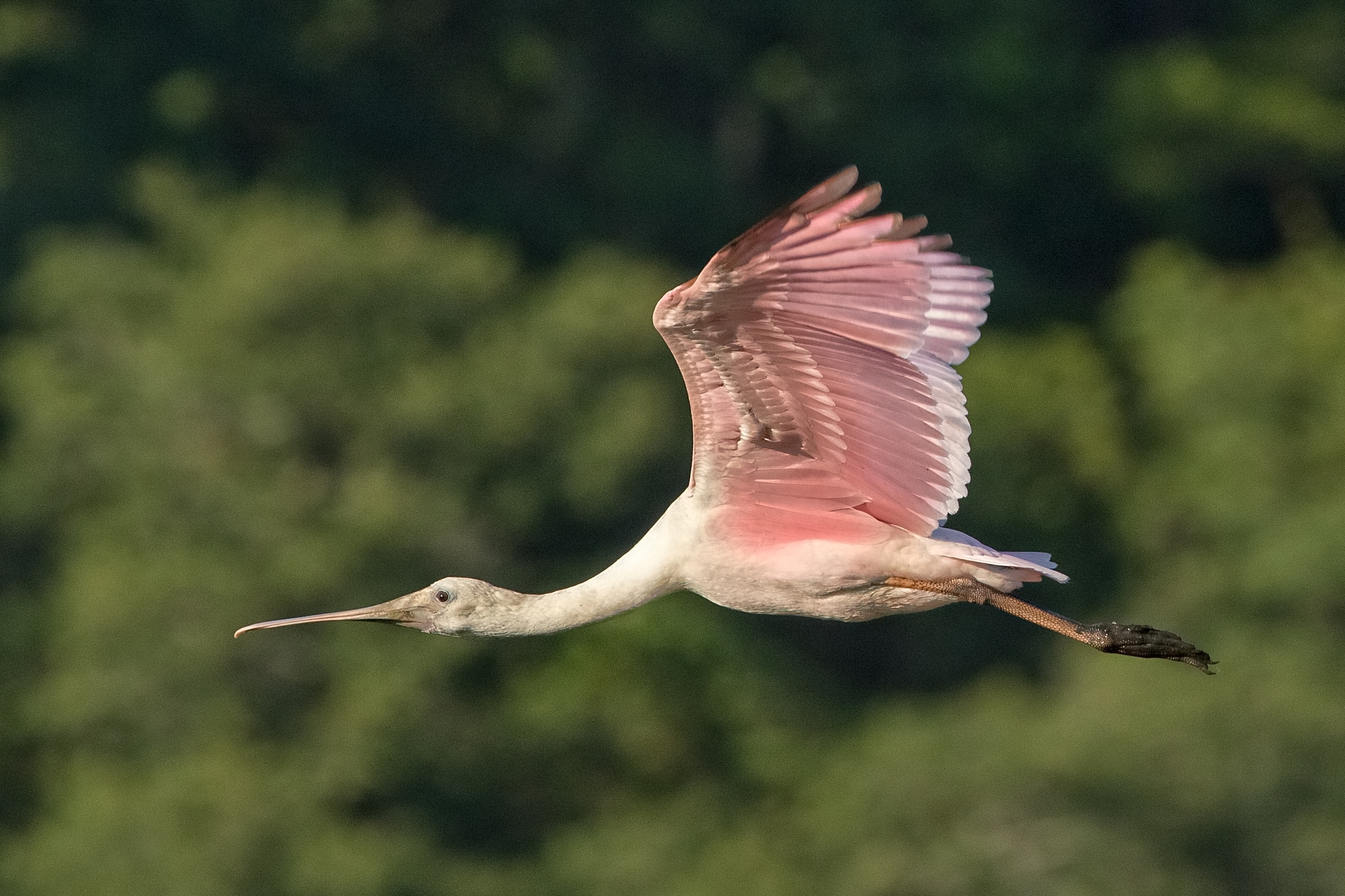 Roseate Spoonbill Dog Day flyby....