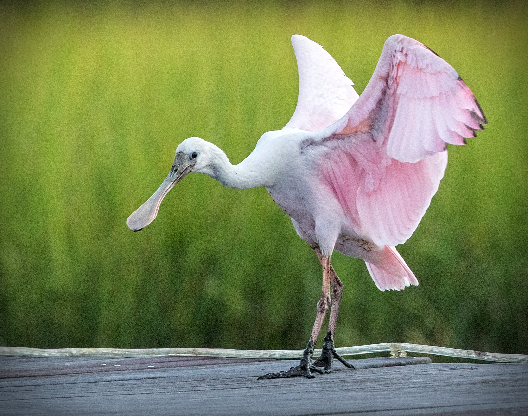 This juvenile Roseate Spoonbill still has its head feather, adults have balding heads due to the bacteria in the mud.