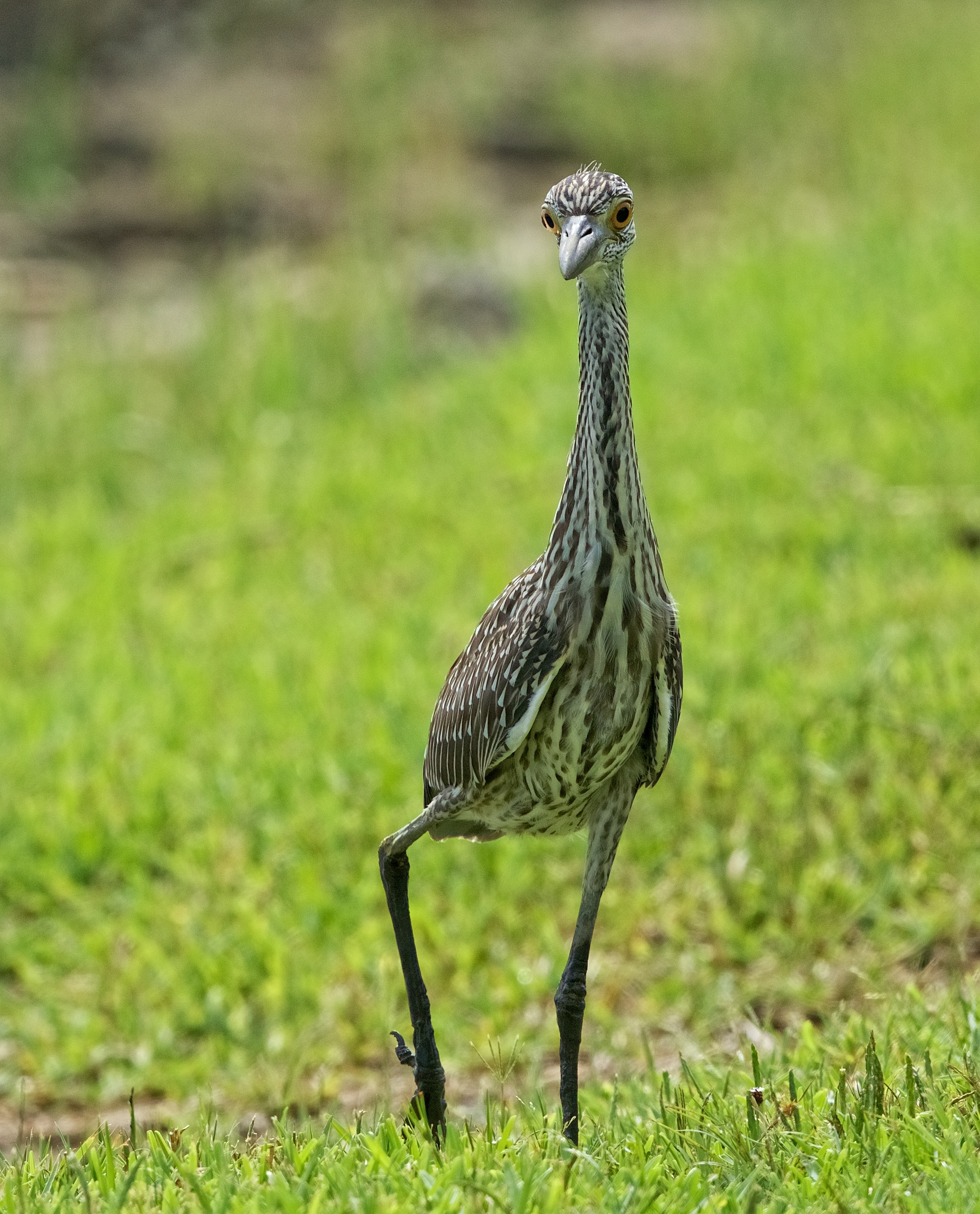 George Jr. the Yellow-crowned Night Heron progeny makes his dog day debut...