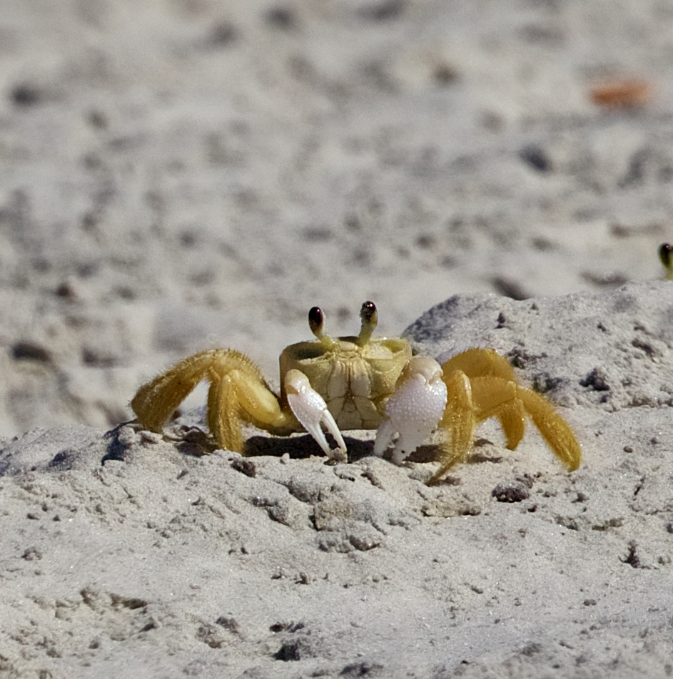 Gee, wish I could fly but I don't stand a ghost of a chance...cause I'm a Ghost Crab..