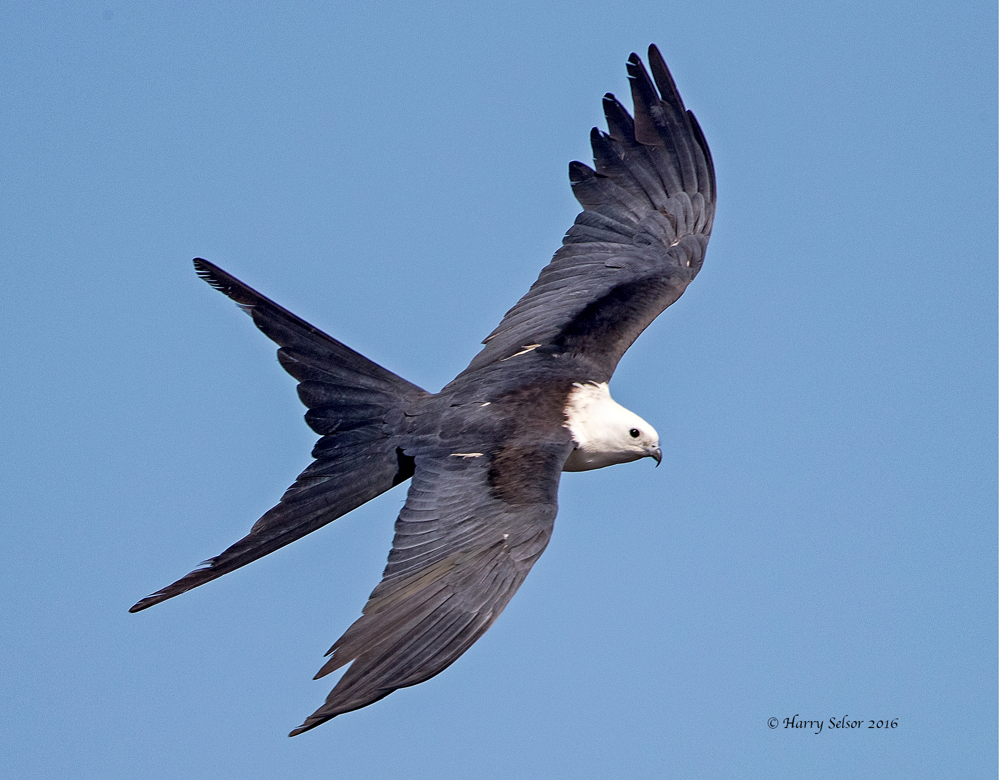 Florida has a large number of the undocumented Immigrants, the Swallow-tailed Kite from South America.