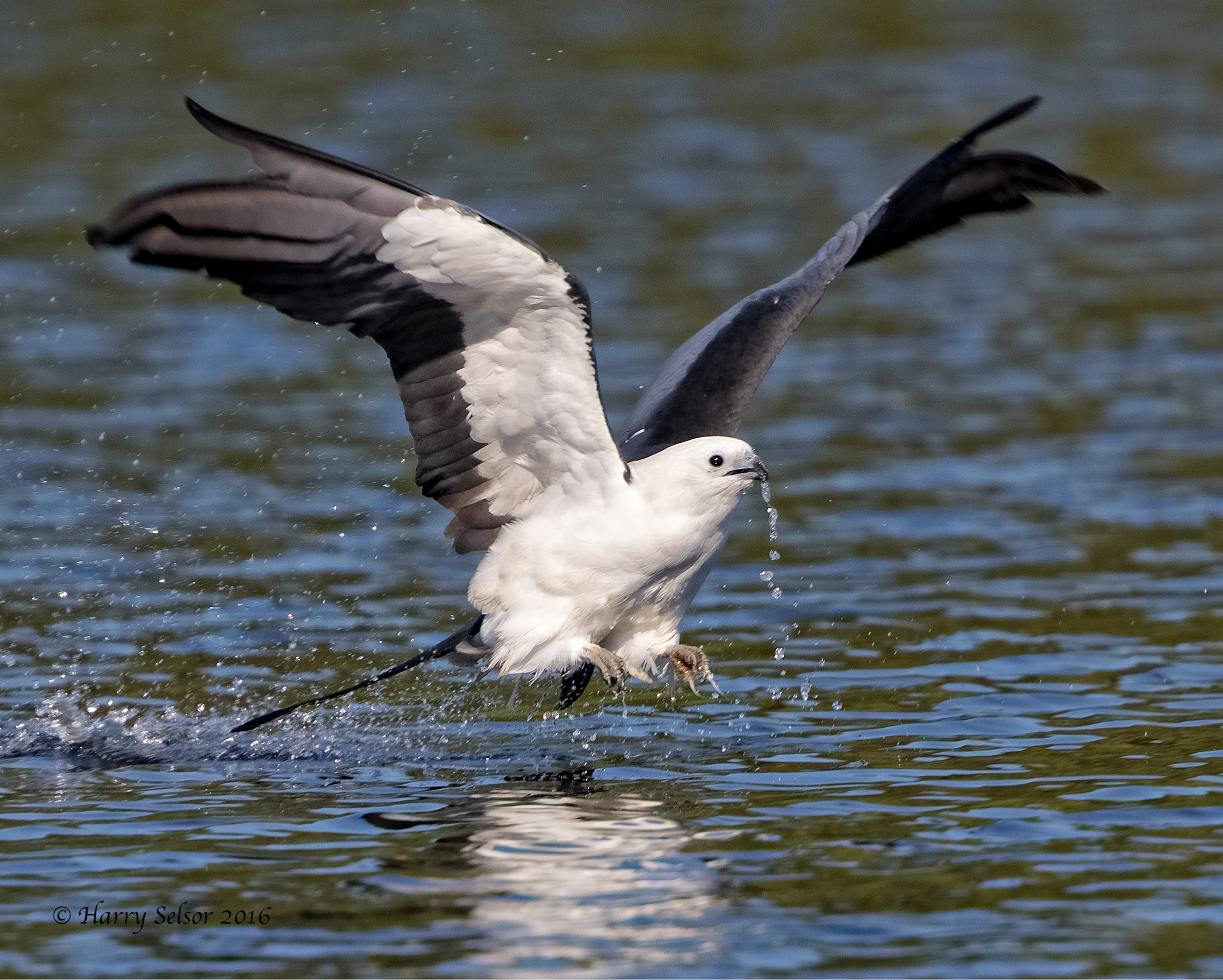 The Swallow-tailed Kites also take this opportunity to give the tailfeathers a quick wash while getting a drink..
