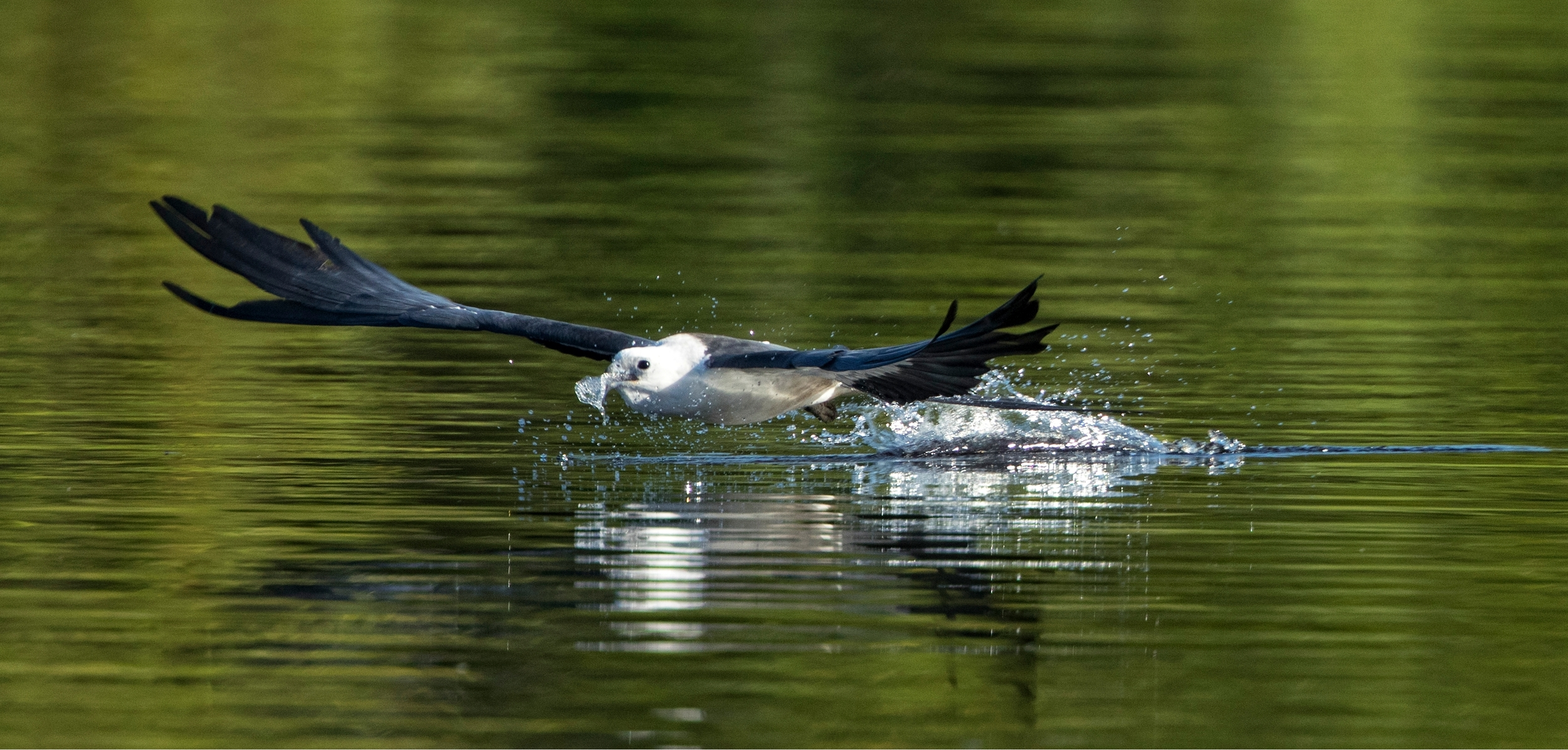 Swallow-tailed Kite getting a drink..