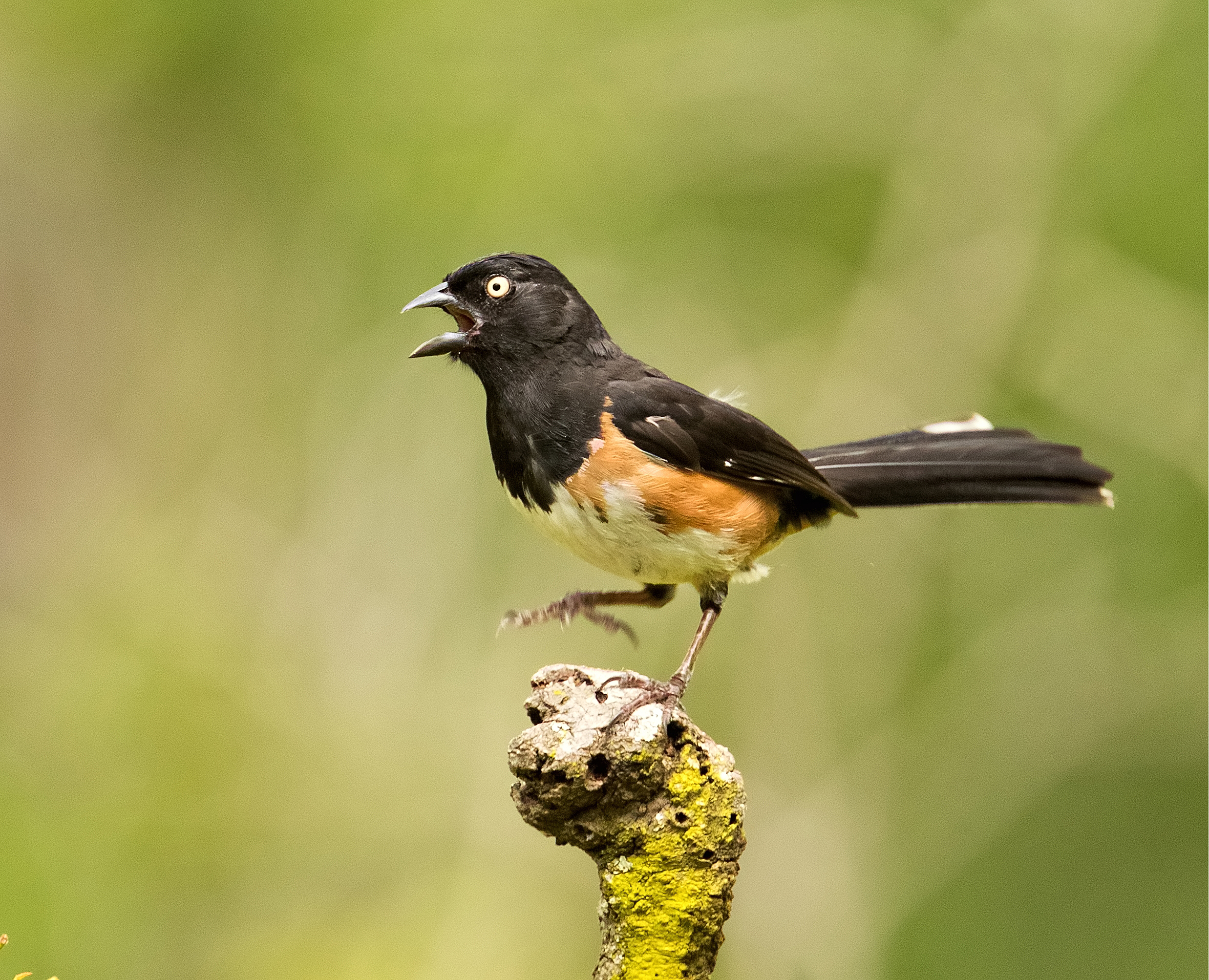 I was amazed when workshop leader Alan Murphy called this Eastern Towhee in to this exact perch.