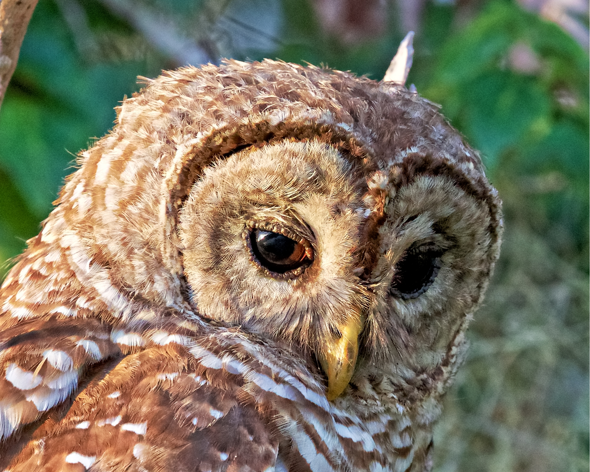 Close up encounter of the Hoot Owl kind...note the feather detail around the eyes..closest I have ever been to a wild Barred Owl. This photo made the bird wall. It hangs out with the Editor now.