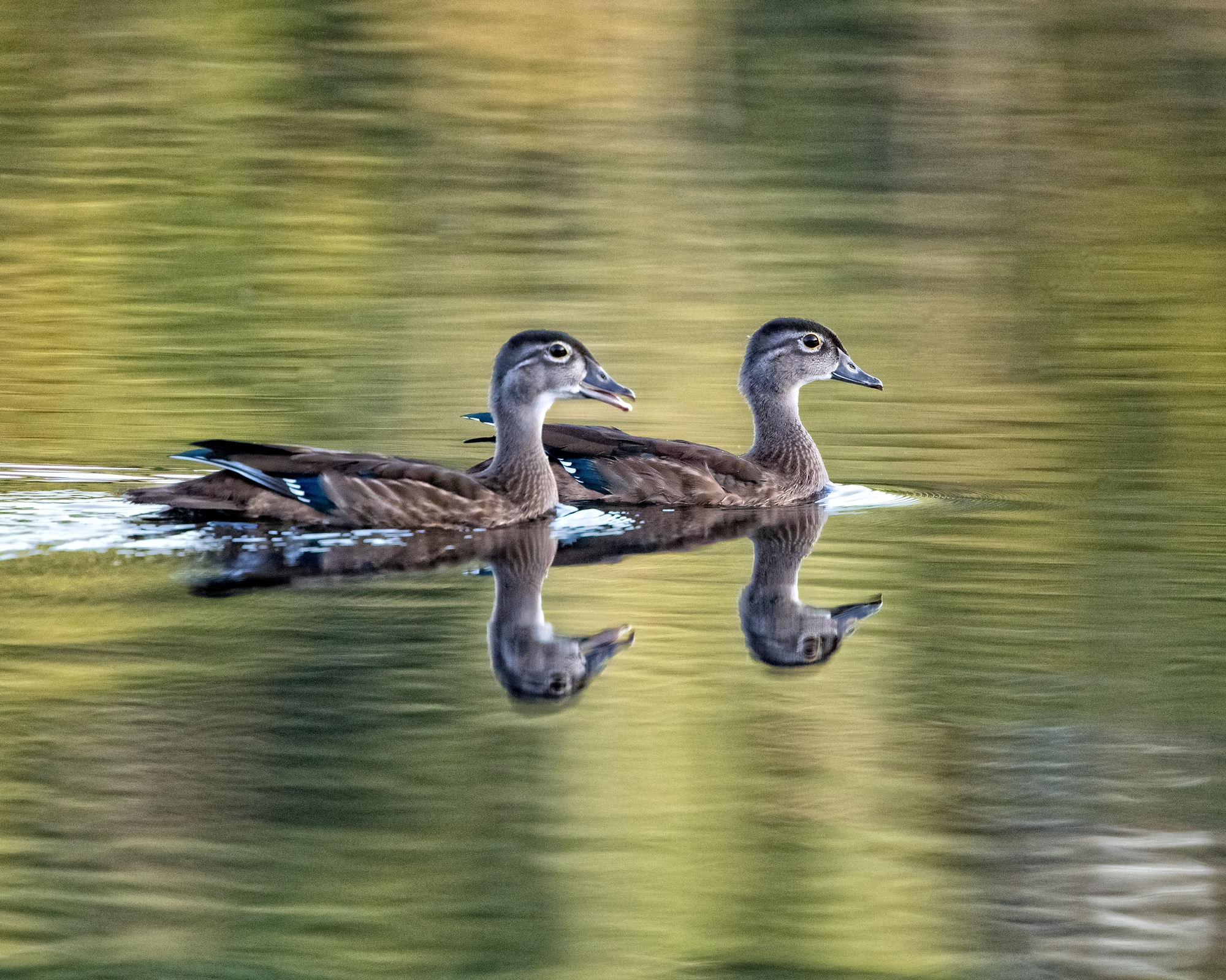 Close encounter of the Wood Duck kind (pair of juveniles). Pretty as a painting..