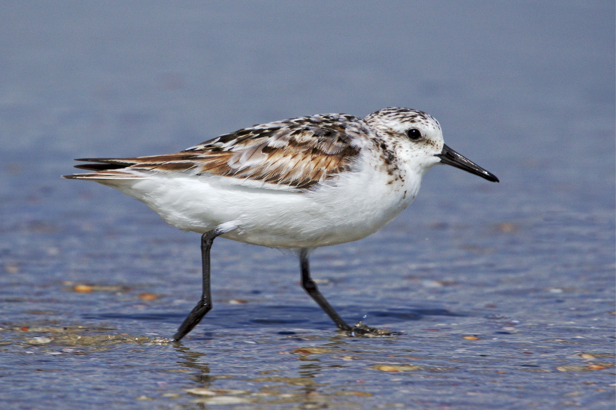 """ Freckles"" the Sanderling scampers across the surf zone in search of snacks.."
