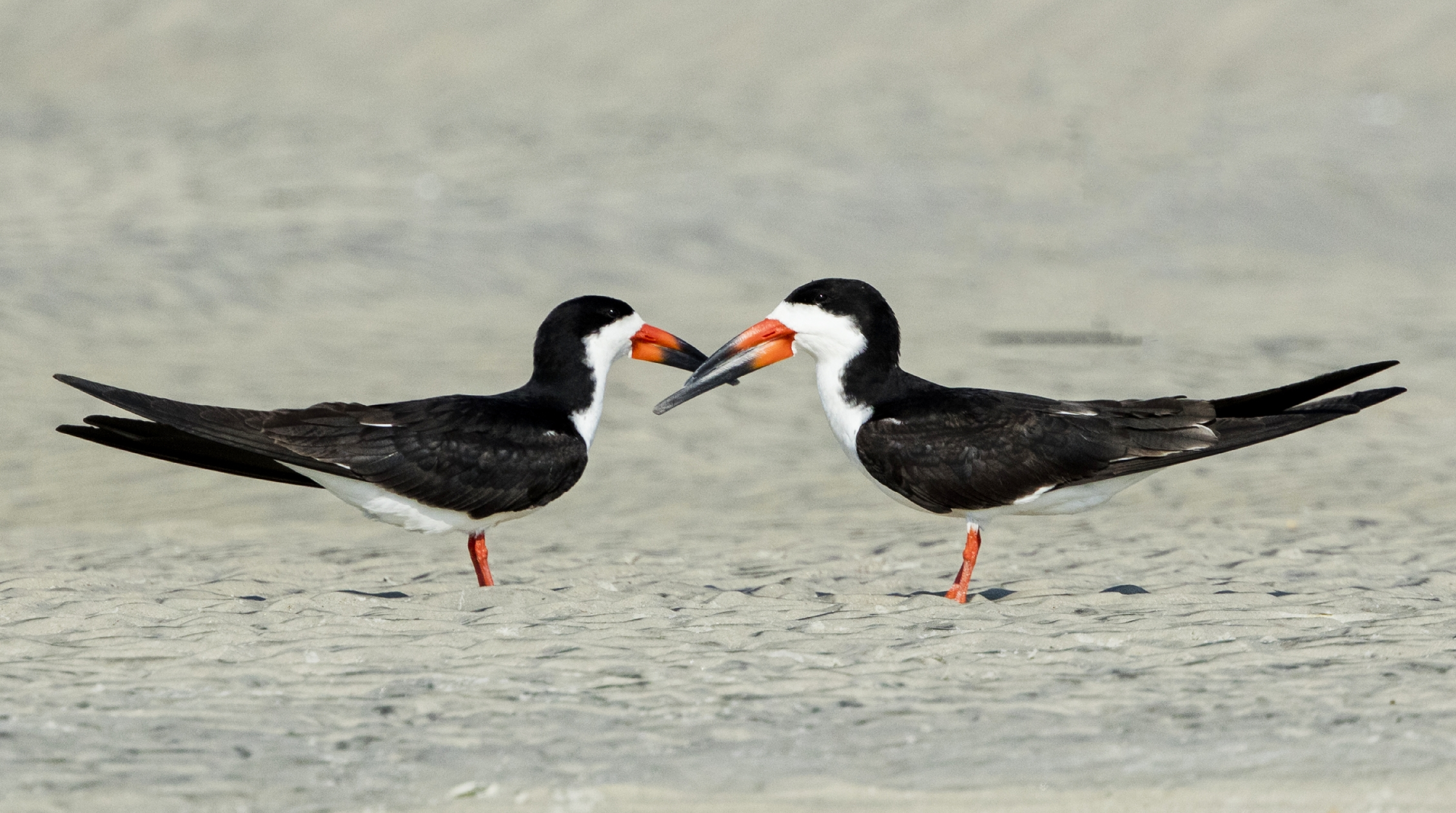 A pair of Black Skimmers watch over there young juvenile nearby..