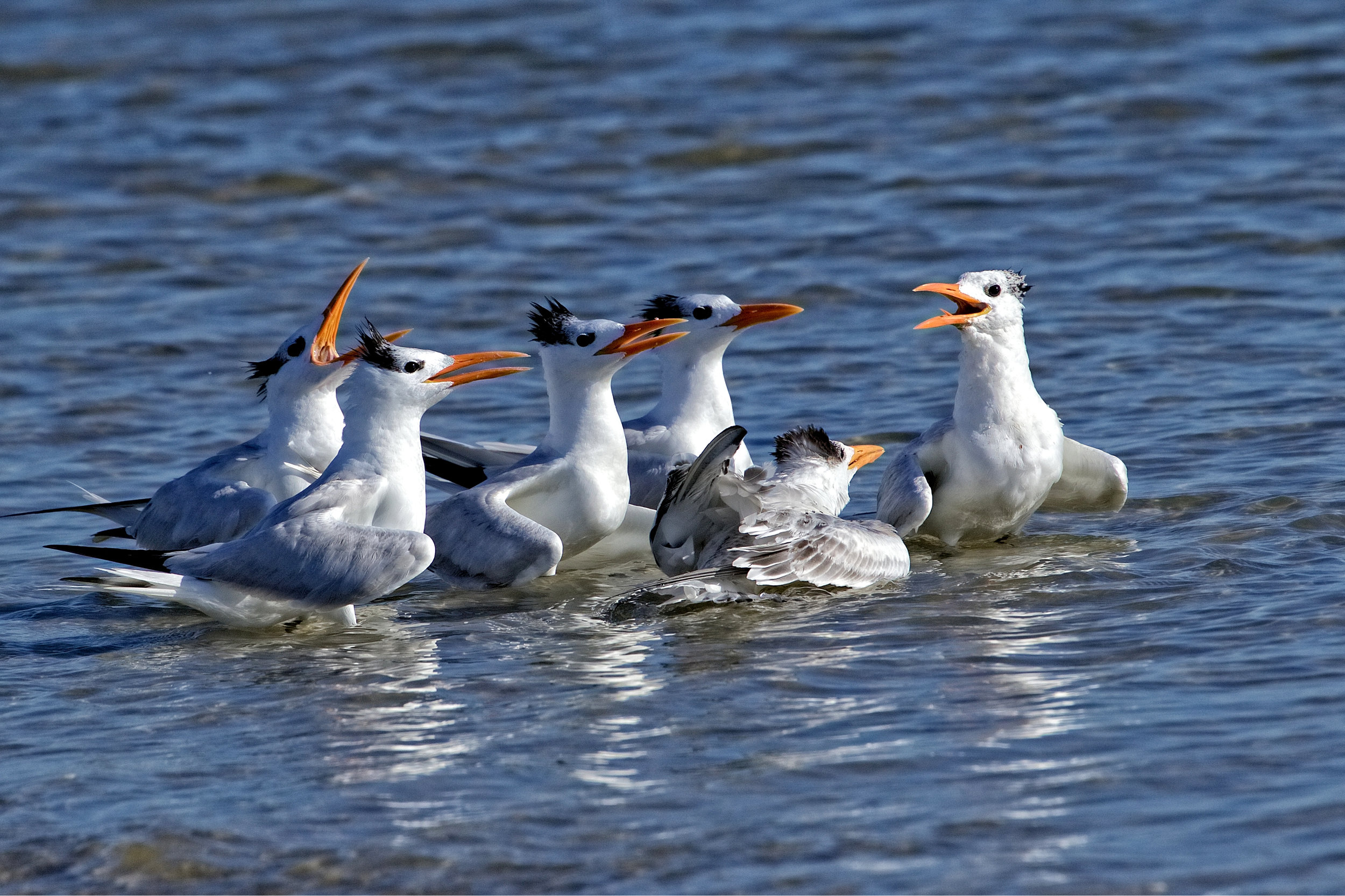 """Thank you for coming to Jr's Baptism""  ...Royal Tern Chick gets ""baptized"" in the Atlantic Ocean Surf.."