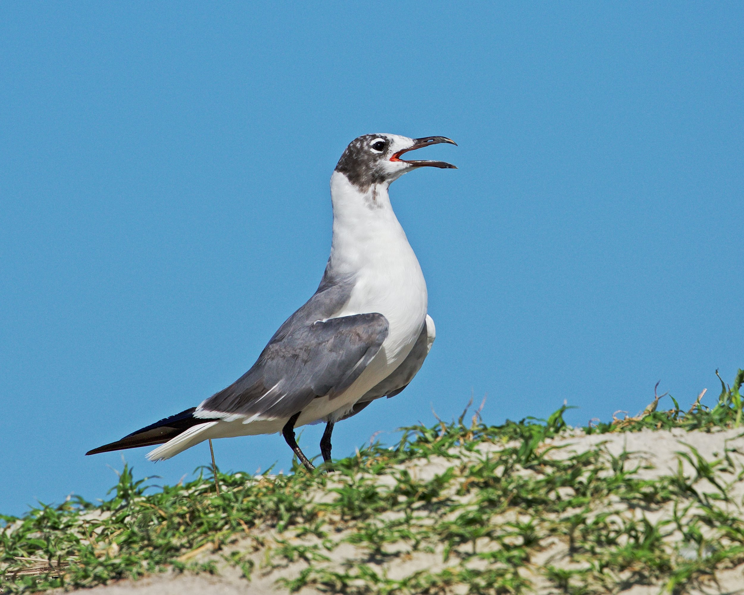 Laughing Gull on vigil sounds the alarm when Turkey Vultures raid the nesting site..note the once jet black breeding colors on the head are fading to grey...sorta like my hair