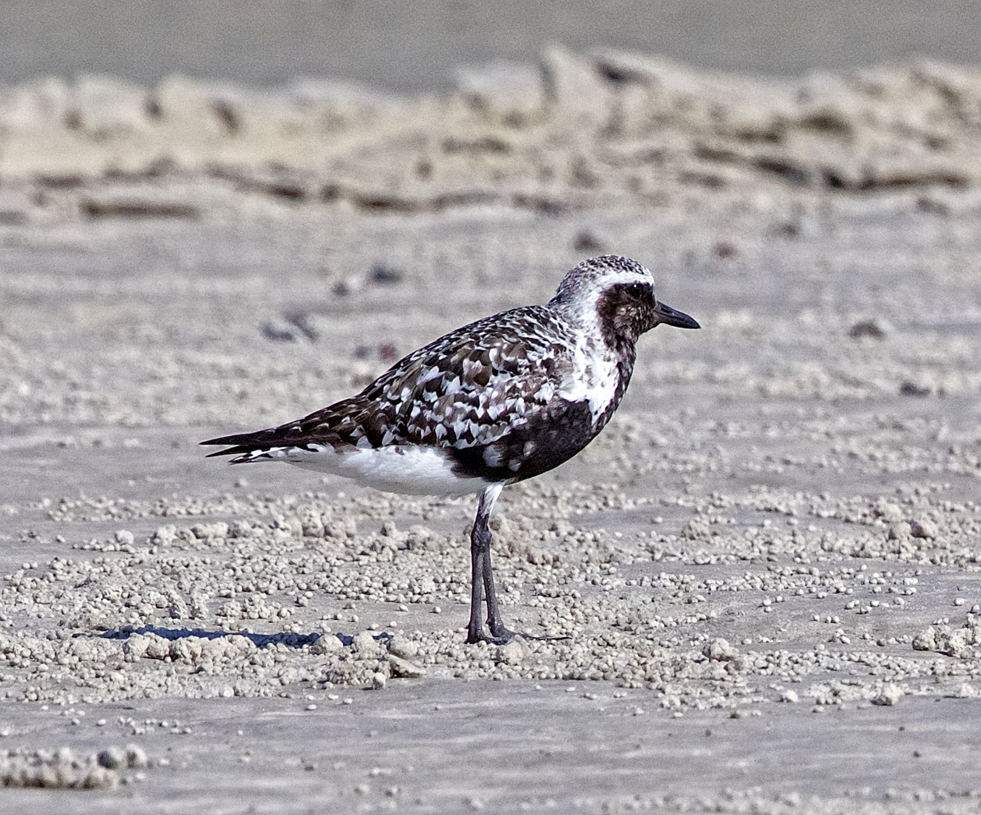 Black-bellied Plover..the fall migrations have begun..this bird breeds in the Arctic regions..