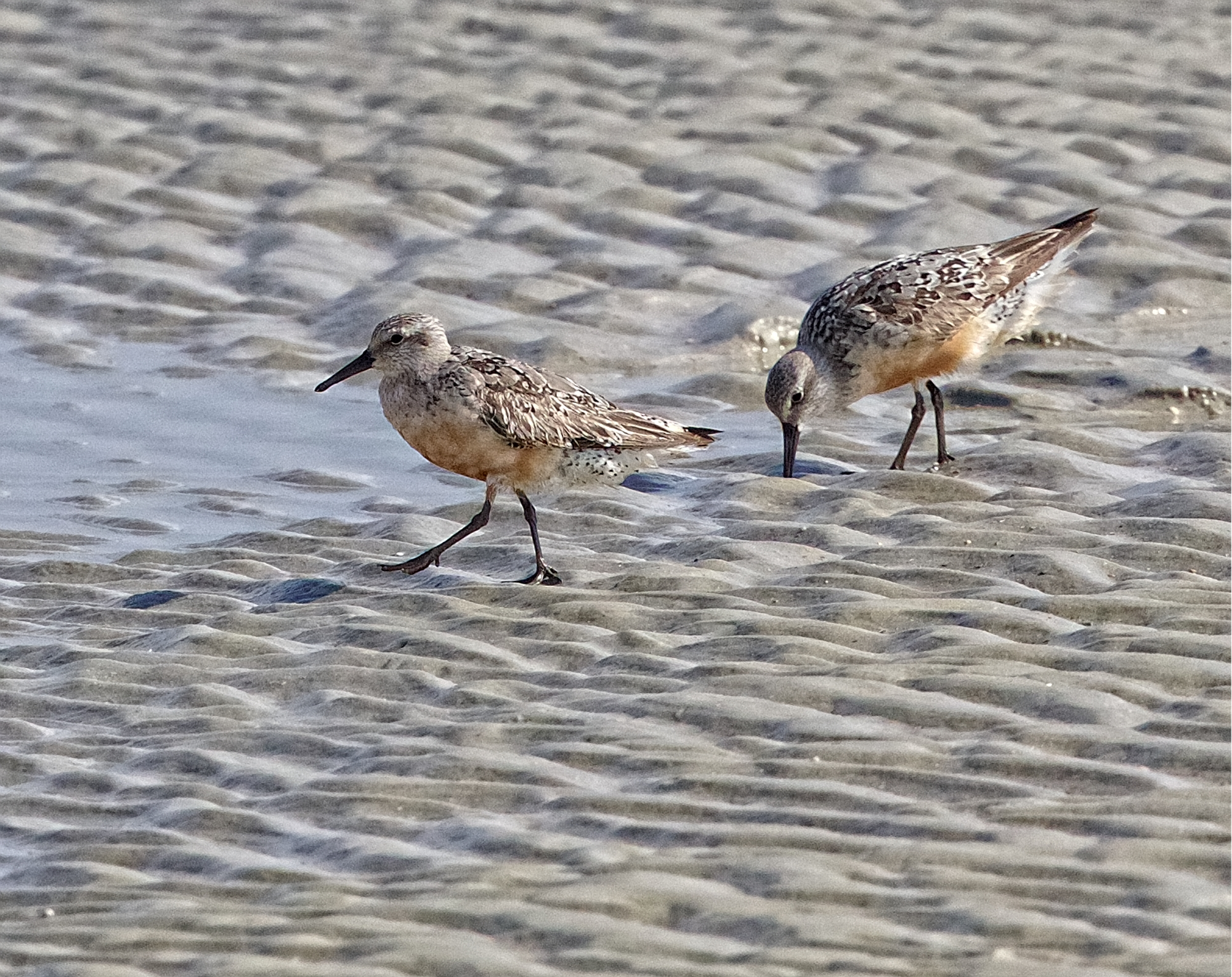 Red Knots...