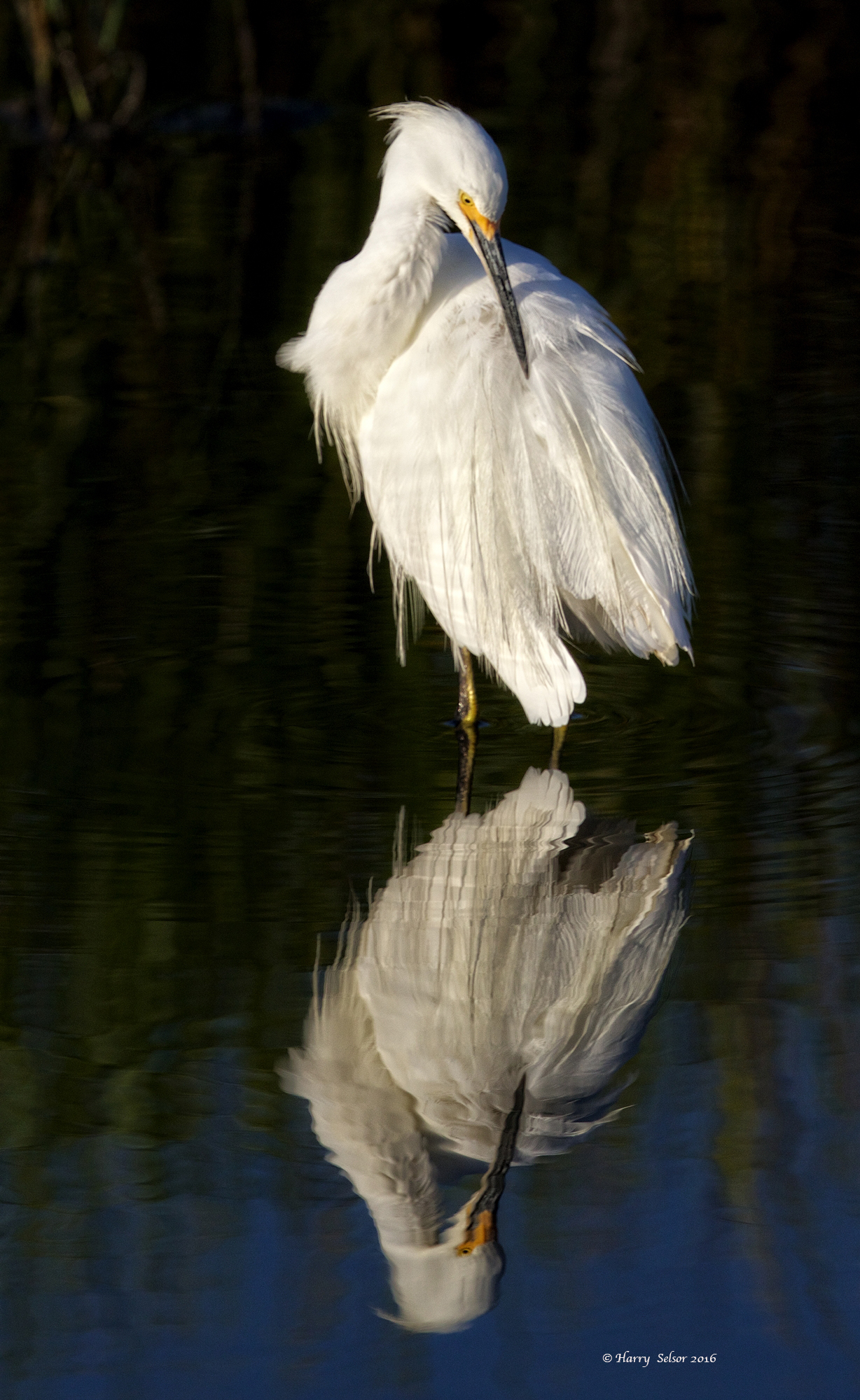 The Snowy Egret flew in also and immediately began preening its feathers
