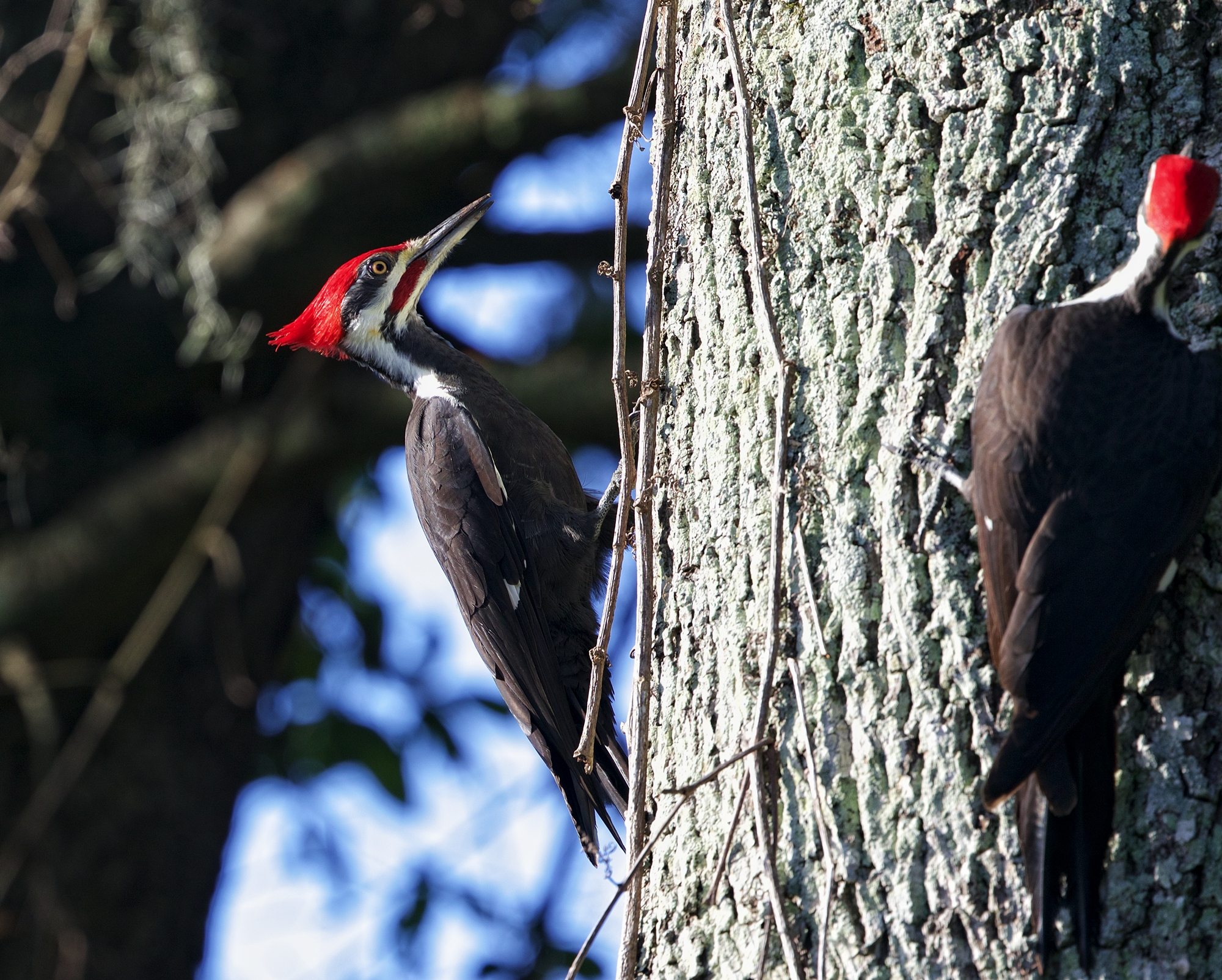 I will knock knock you if you don't get outta my tree said the Pileated Woodpecker to the other