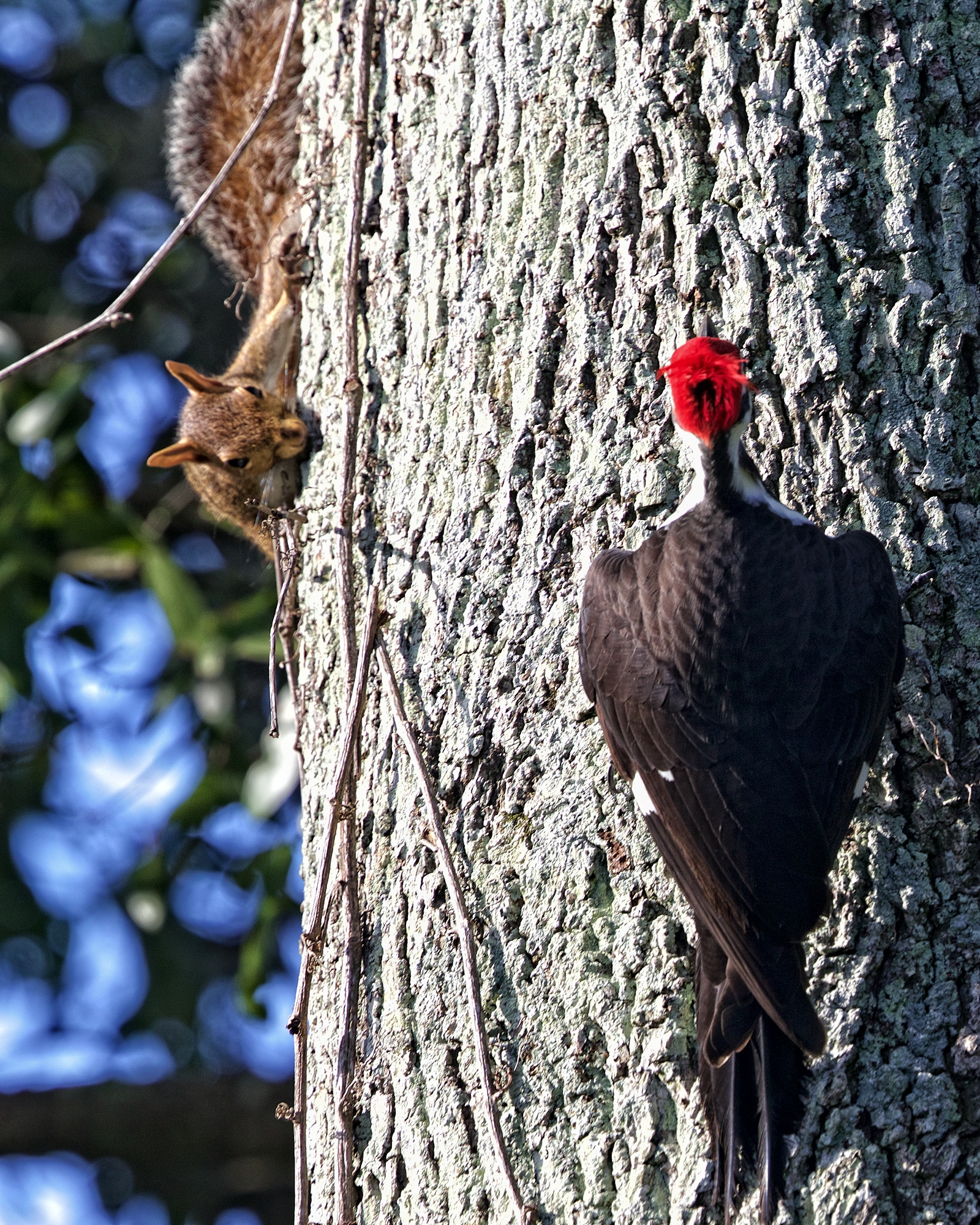 Knock Knock...who's there? Pecker....Piliated Woodpecker that is...who is making all that noise?