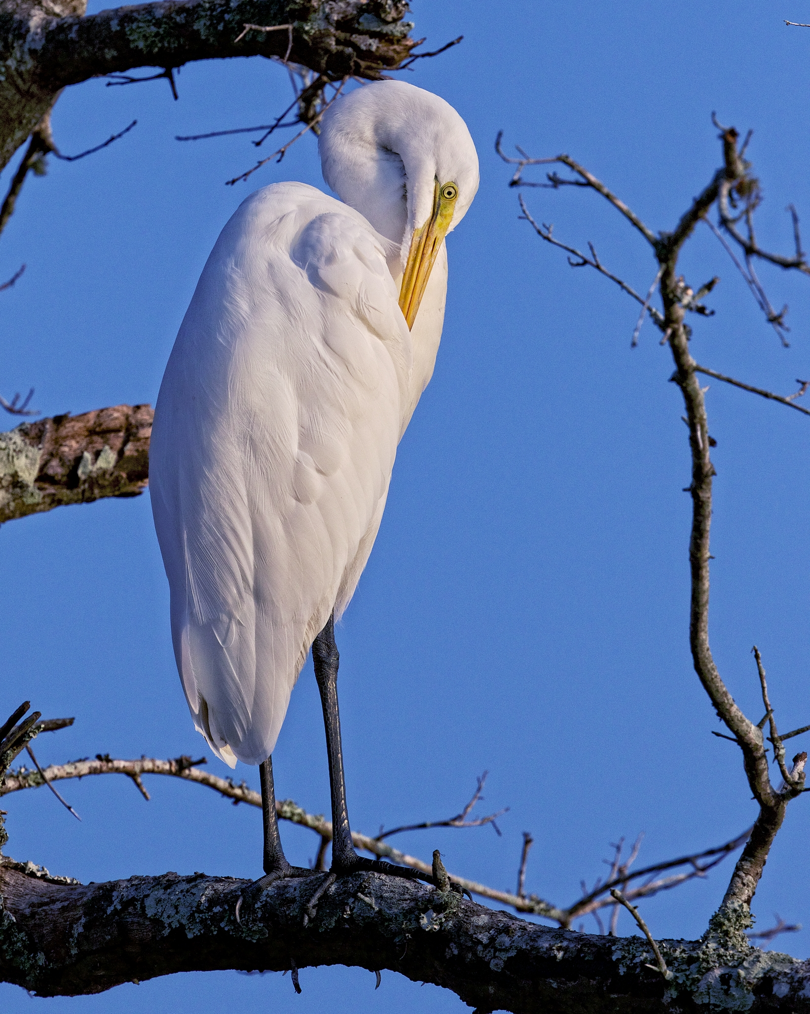 I glance out the window to see this Great Egret preening on a limb..