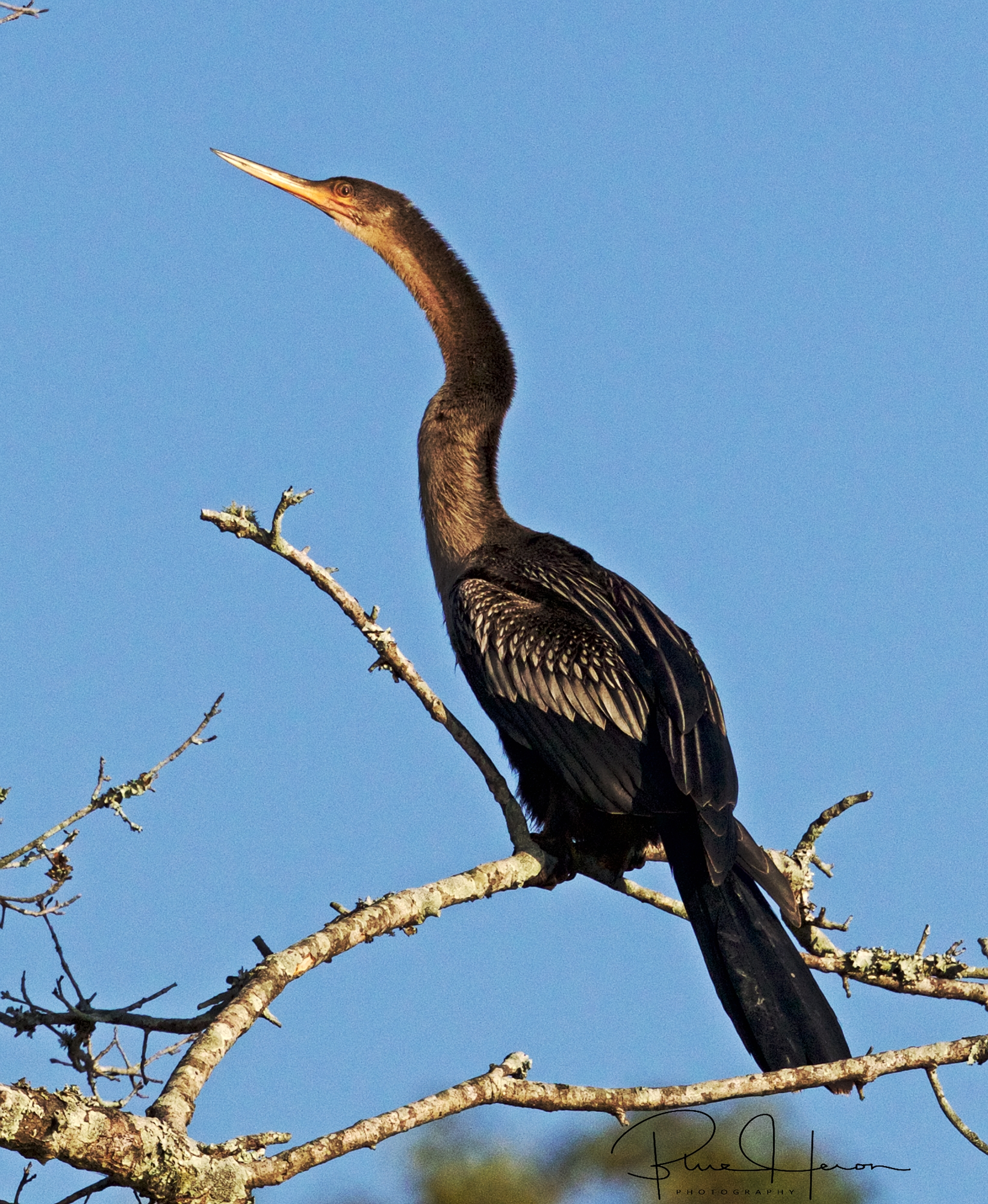 Annie the Anhinga lands and strikes and gives me the eye after a long day of fishing..