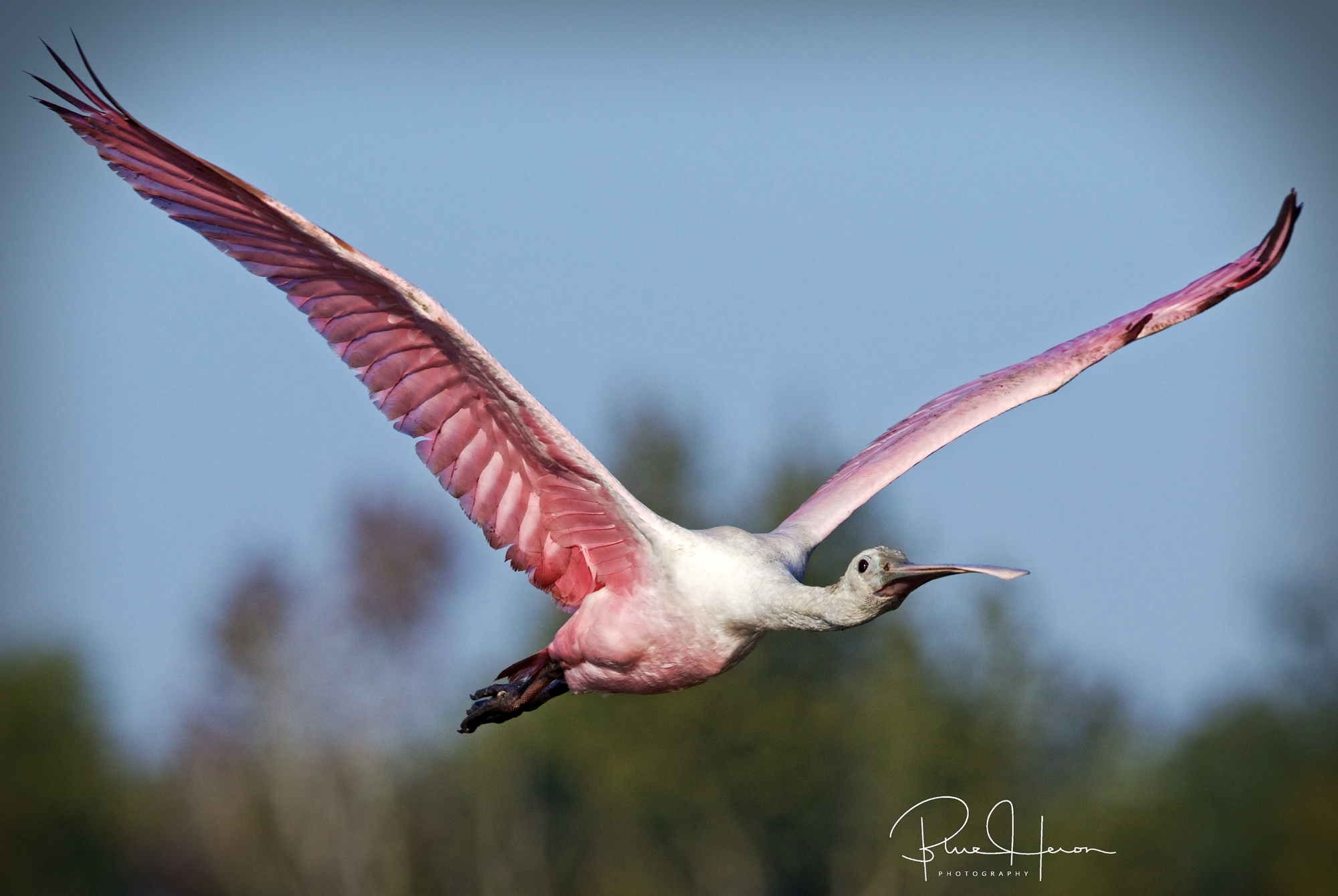 I  was surprised to still see the Roseate Spoonbills on the Broward