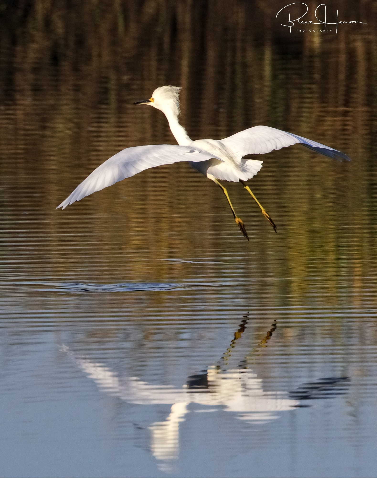 Wheeee...the only snow we are seeing is Snowy Egrets!