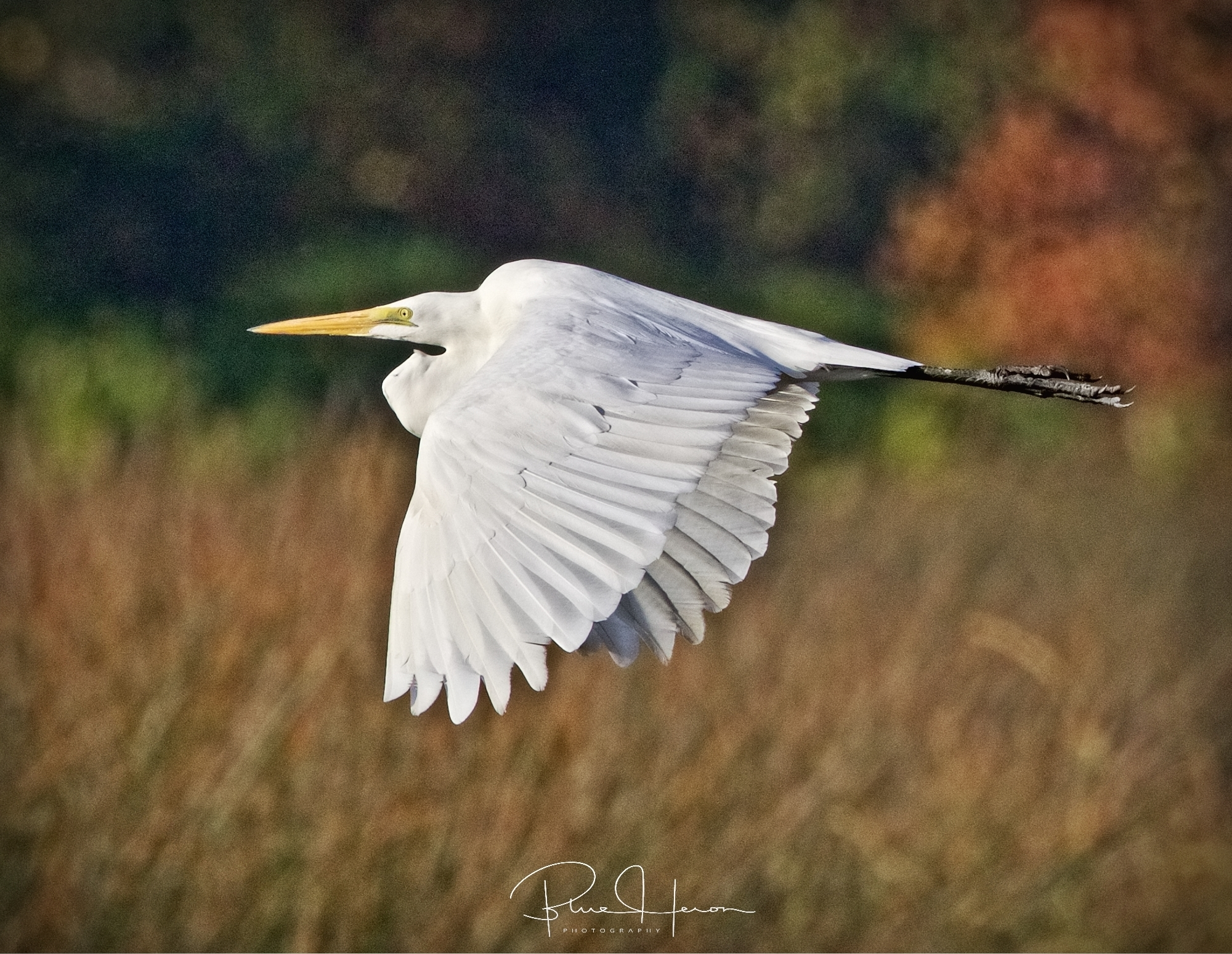 Don't shoot, I am not a turkey said the Great Egret