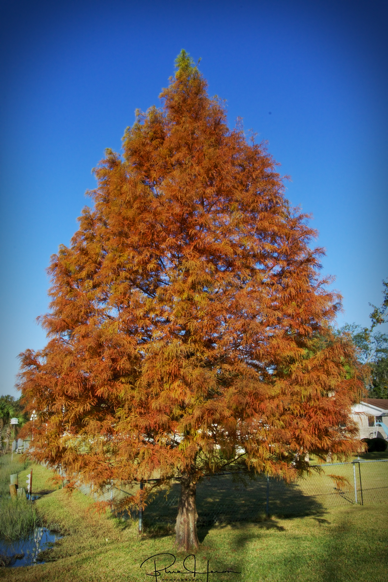 """This is my fall colors on the Broward, a Bald Cyprus tree we planted called """"The General""""    It grew from about a 3 ft sapling to over 20 feet tall now."""