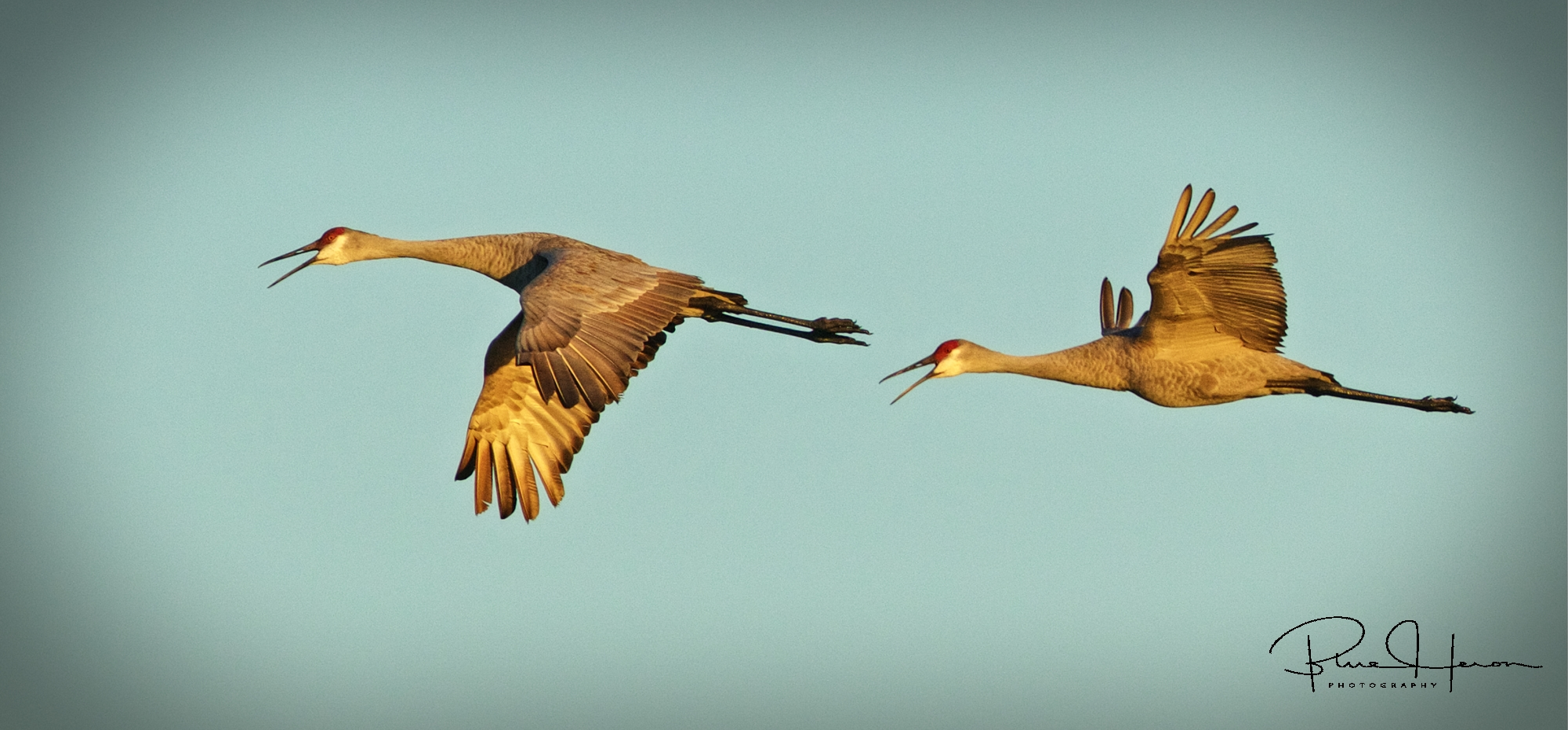 Sandhill Crane fly by to start the day