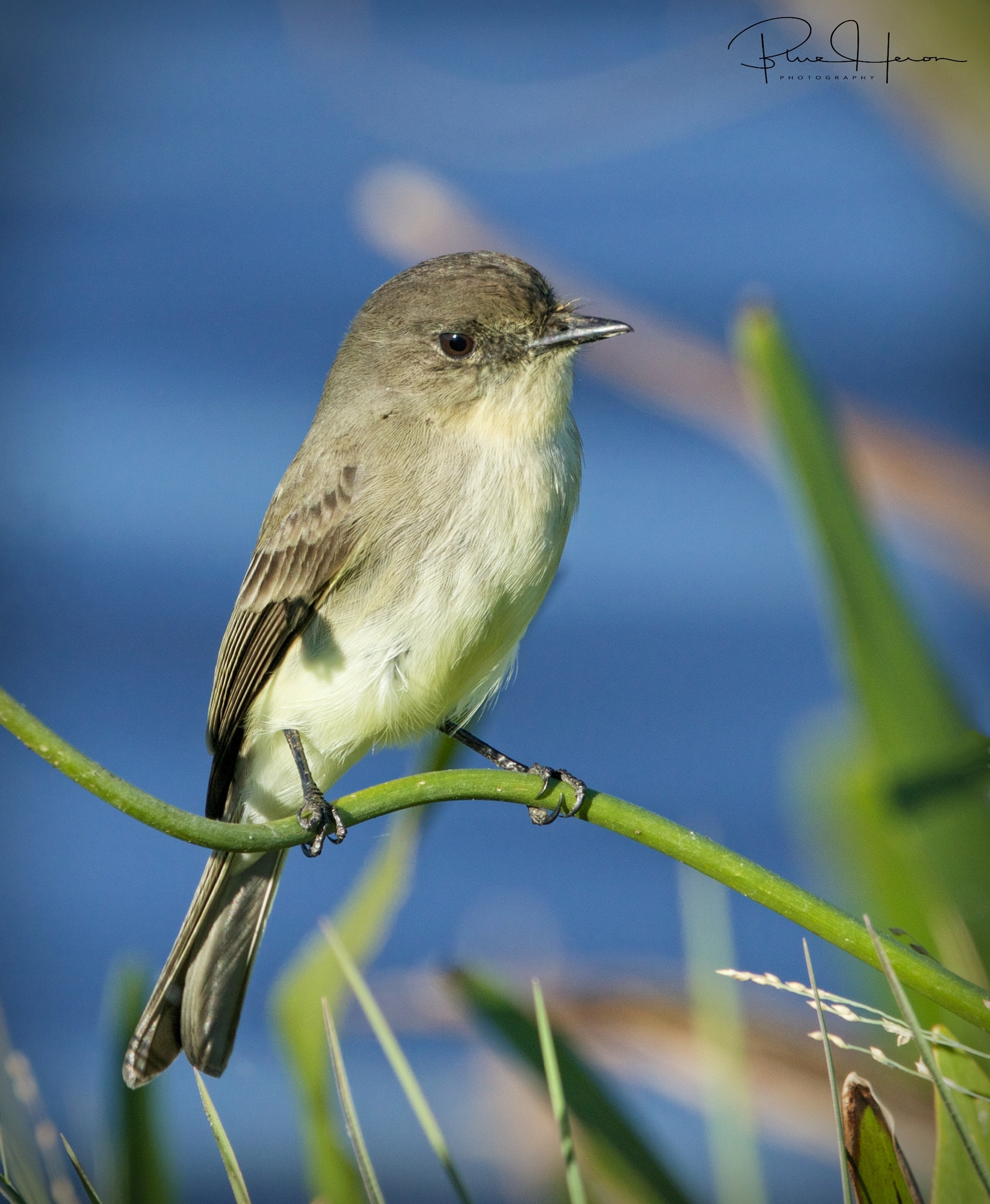 An Eastern Phoebe lights up the day