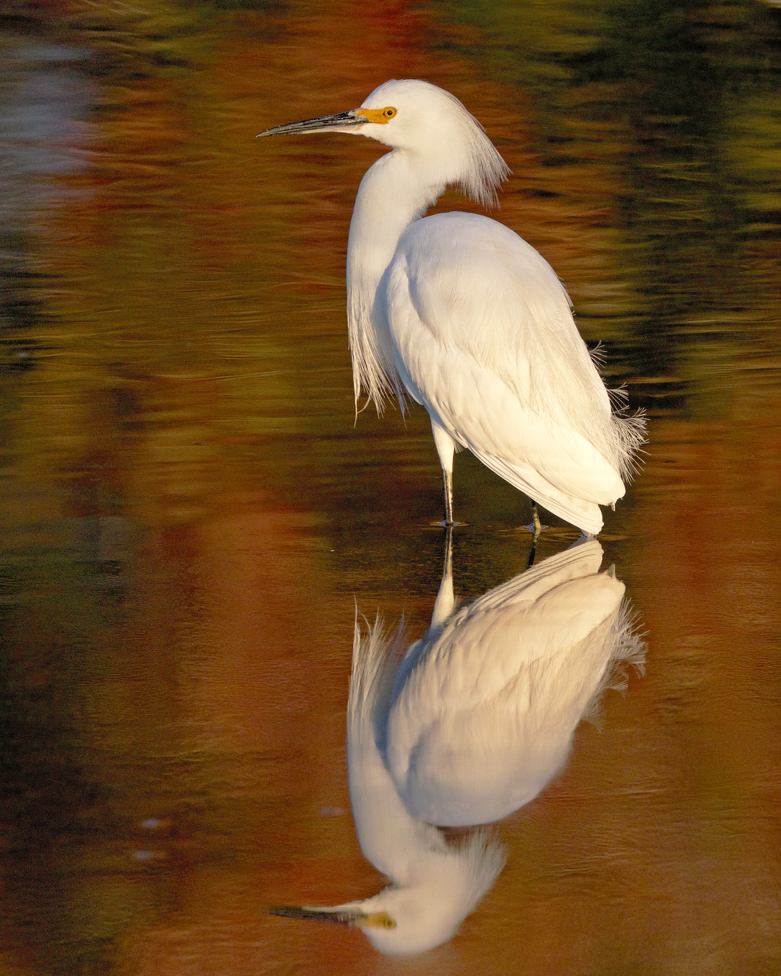 Snowy Egret with a splash of fall colors...one of my favorite captures this year