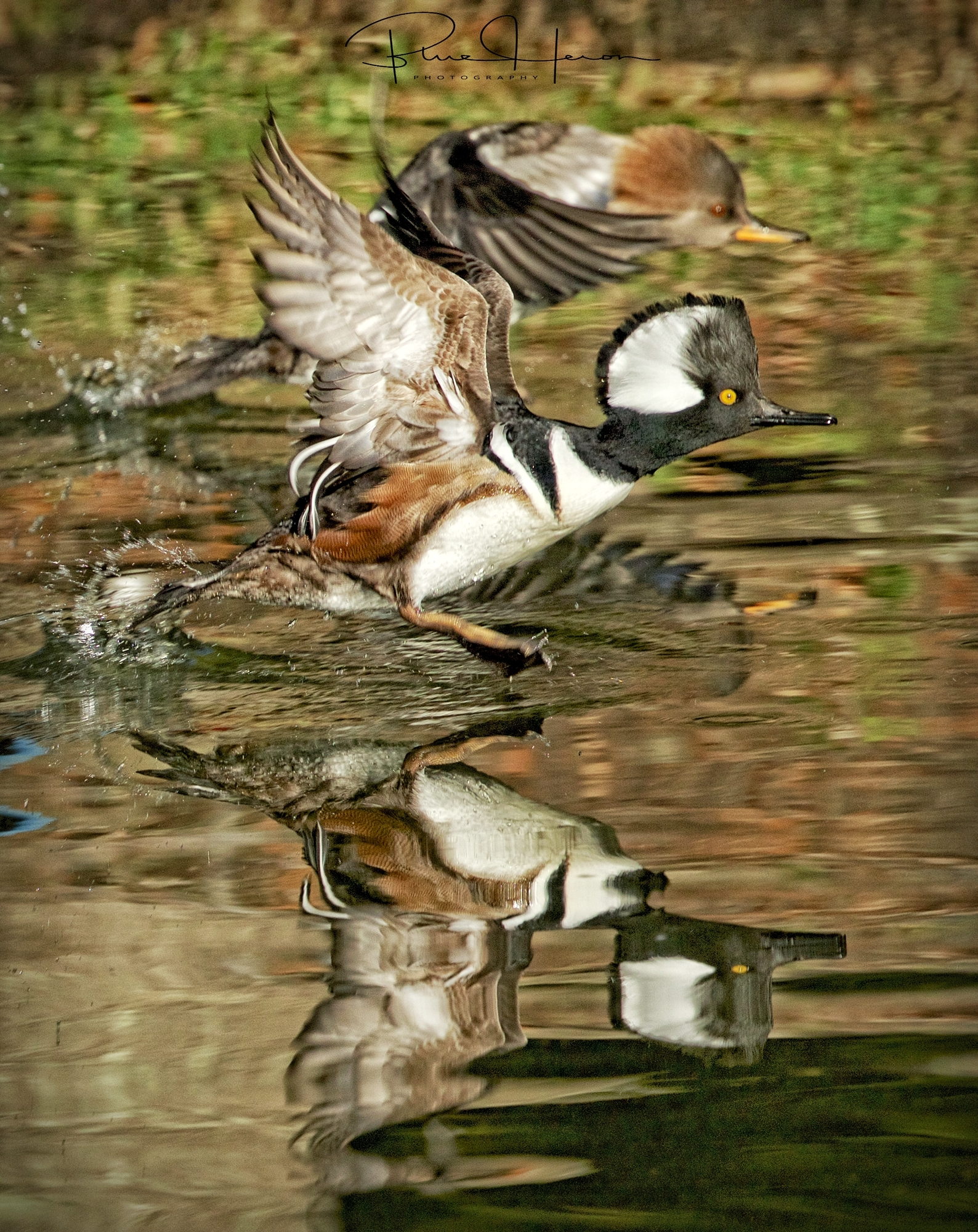 The male Hooded Merganser takes off too..until next time Mr. Hoodie