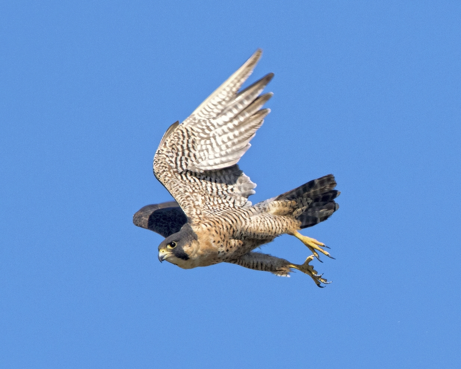 My first capture of a Peregrine Falcon