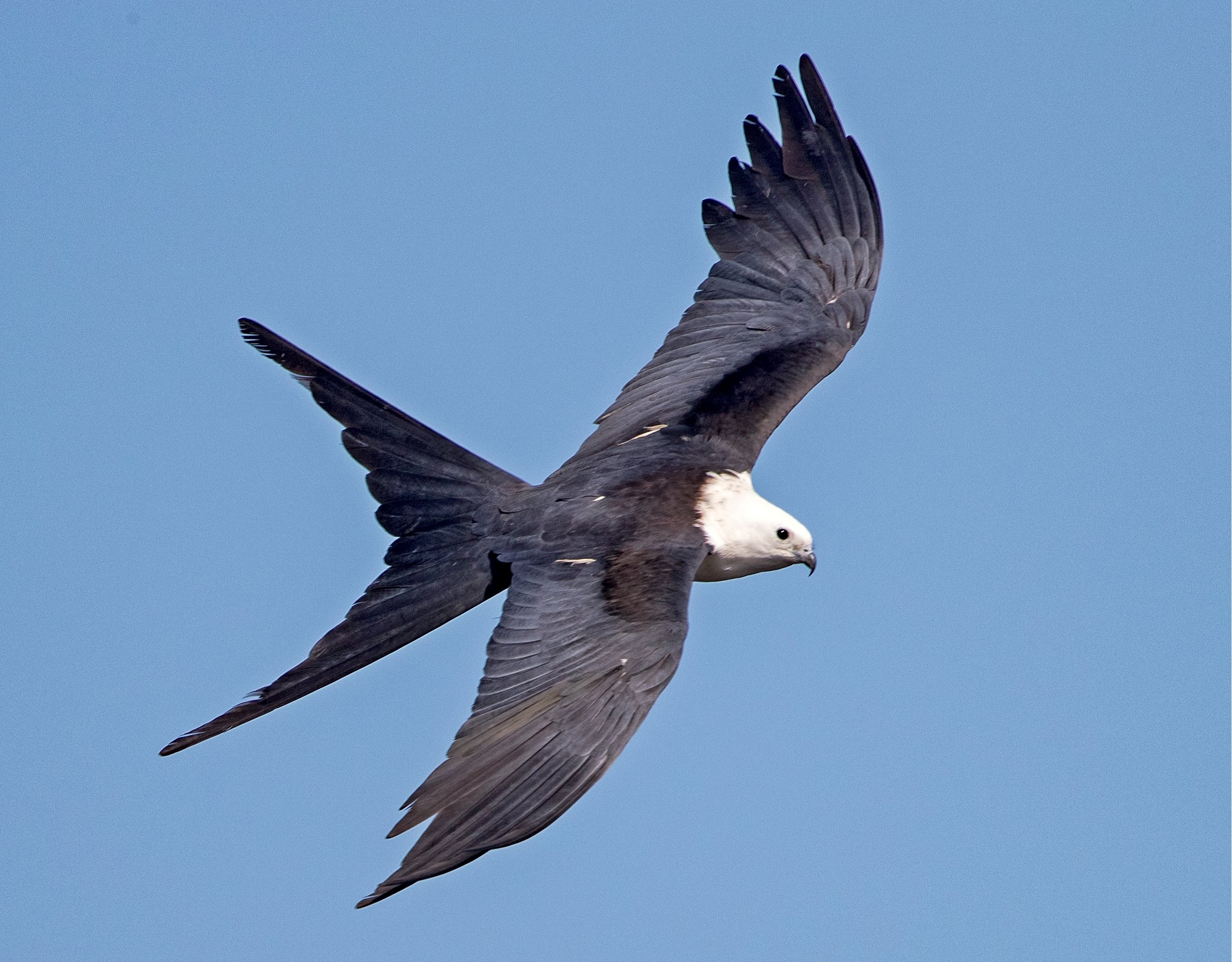 I got to see the migration gathering of the Swallow-tailed Kites preparing to return to Brazil for the winter