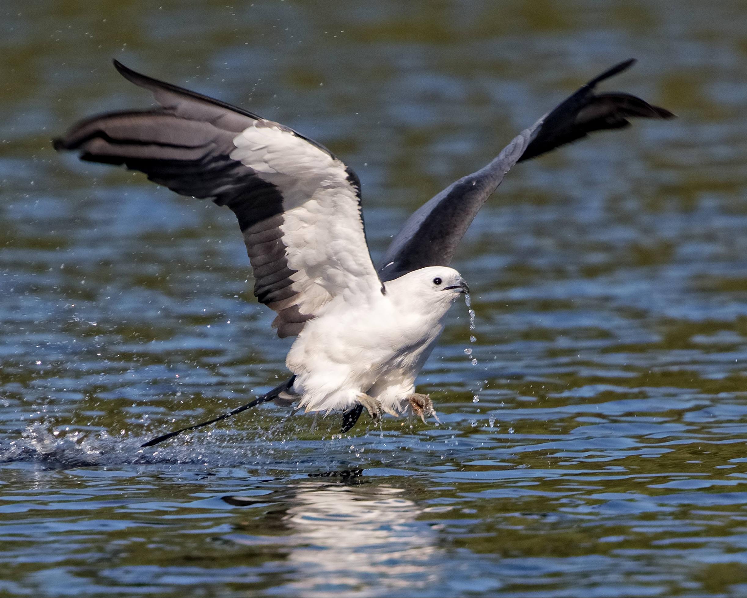 """This Swallow-tailed Kite does a morning """"Skimming"""" maneuver to get a cool drink of water"""