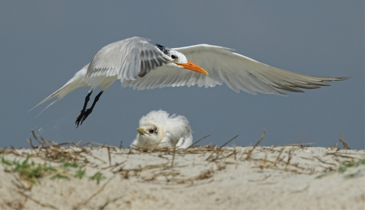 """This Royal Tern chick and parent were featured in an article I wrote called """"Under my Wings"""" and published by the Wildlife Conservation Society."""