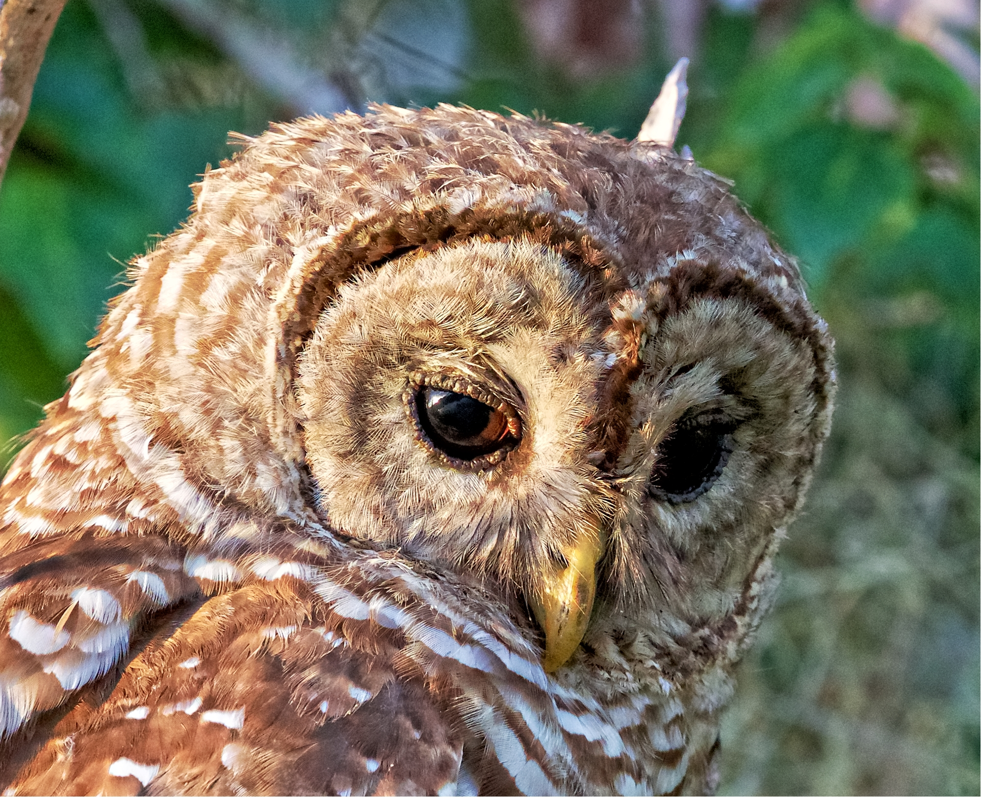 I had a close encounter of the Who Kind with a Barred Owl