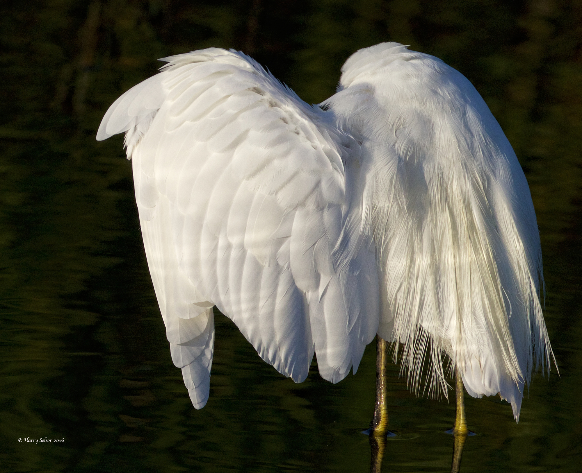 Snowy Wings...a feathery delight